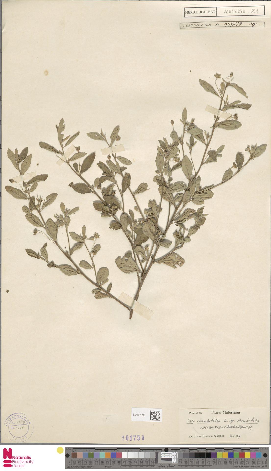 L.2367690 | Sida rhombifolia L.