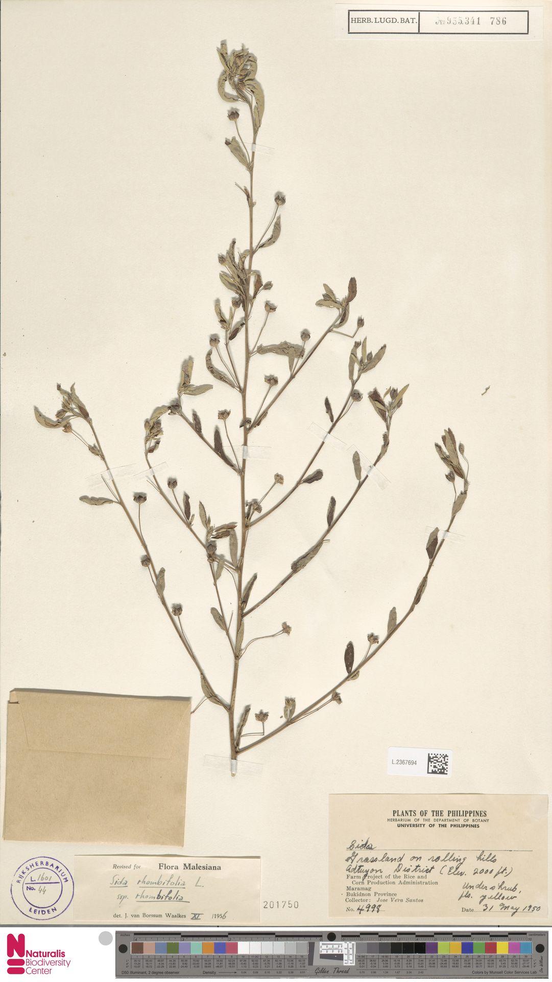 L.2367694 | Sida rhombifolia L.