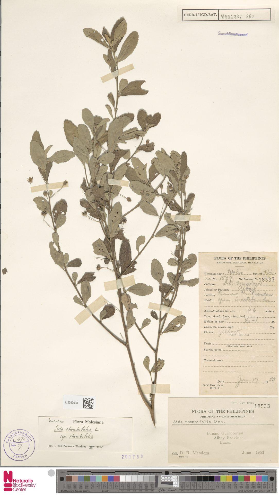 L.2367698 | Sida rhombifolia L.