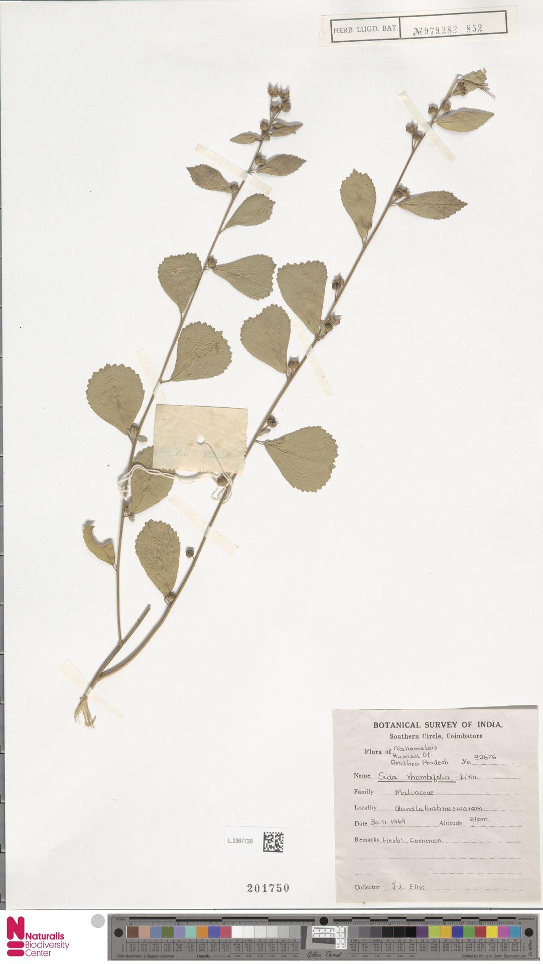 L.2367739 | Sida rhombifolia L.