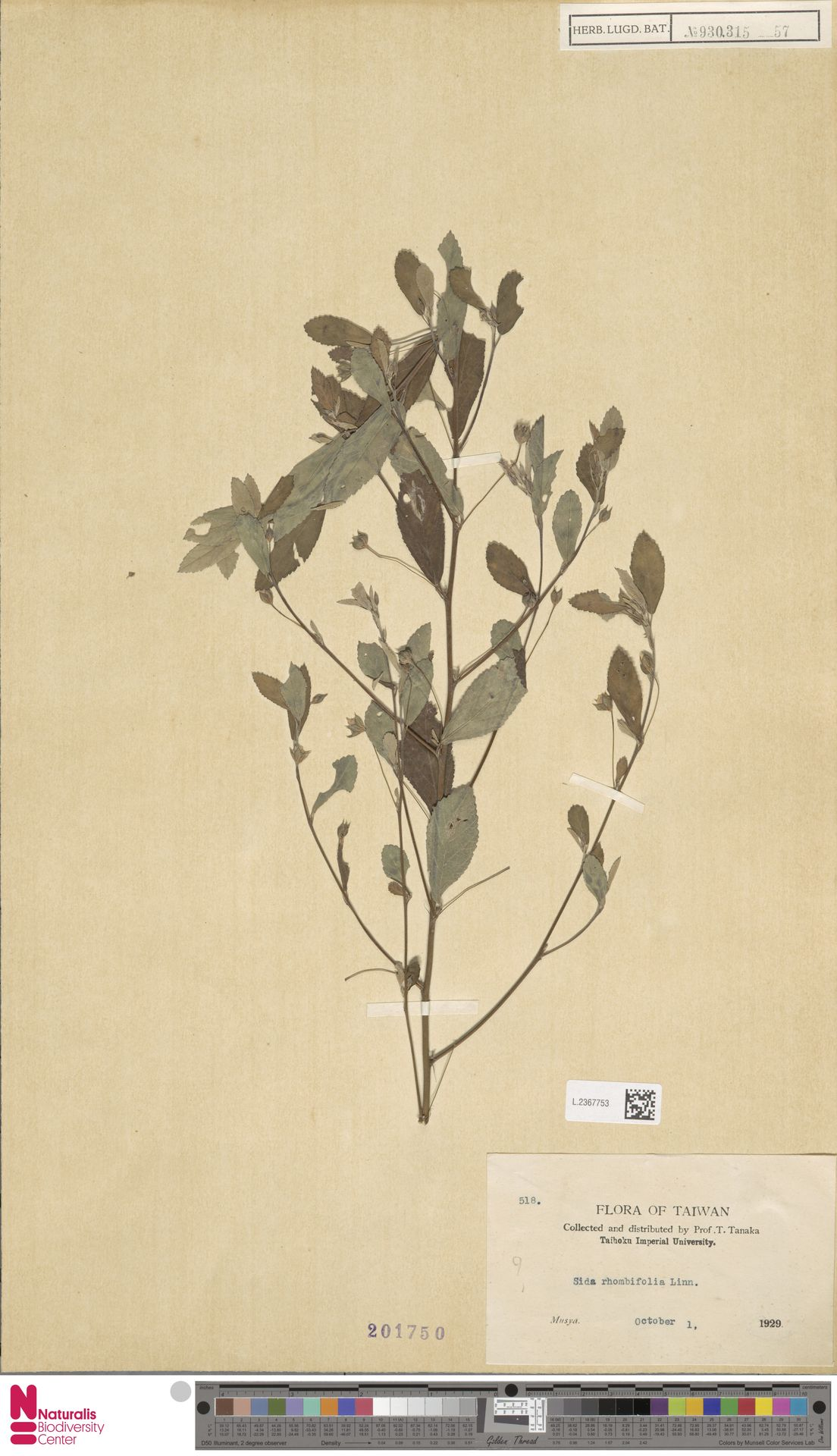 L.2367753 | Sida rhombifolia L.