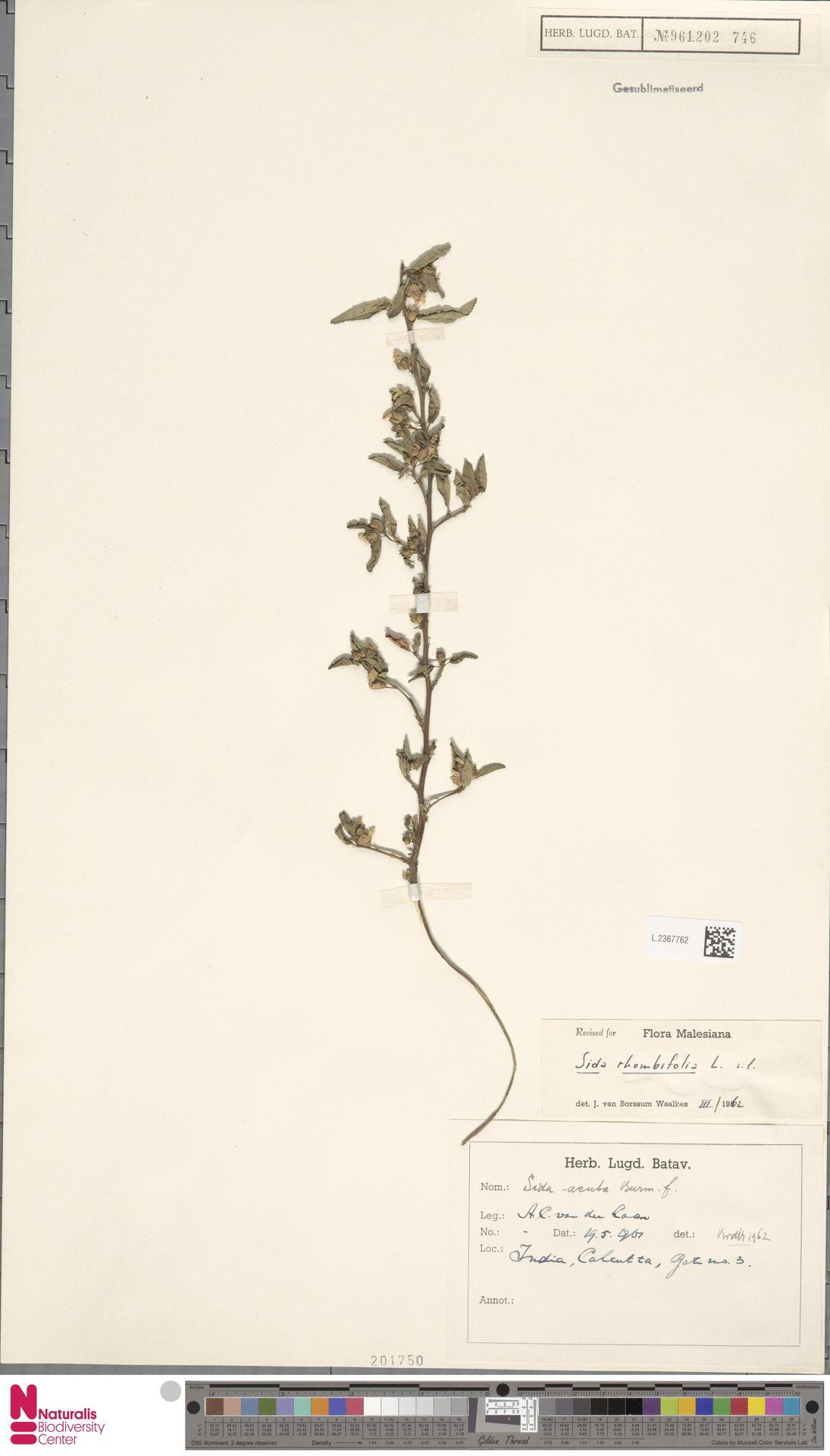 L.2367762 | Sida rhombifolia L.