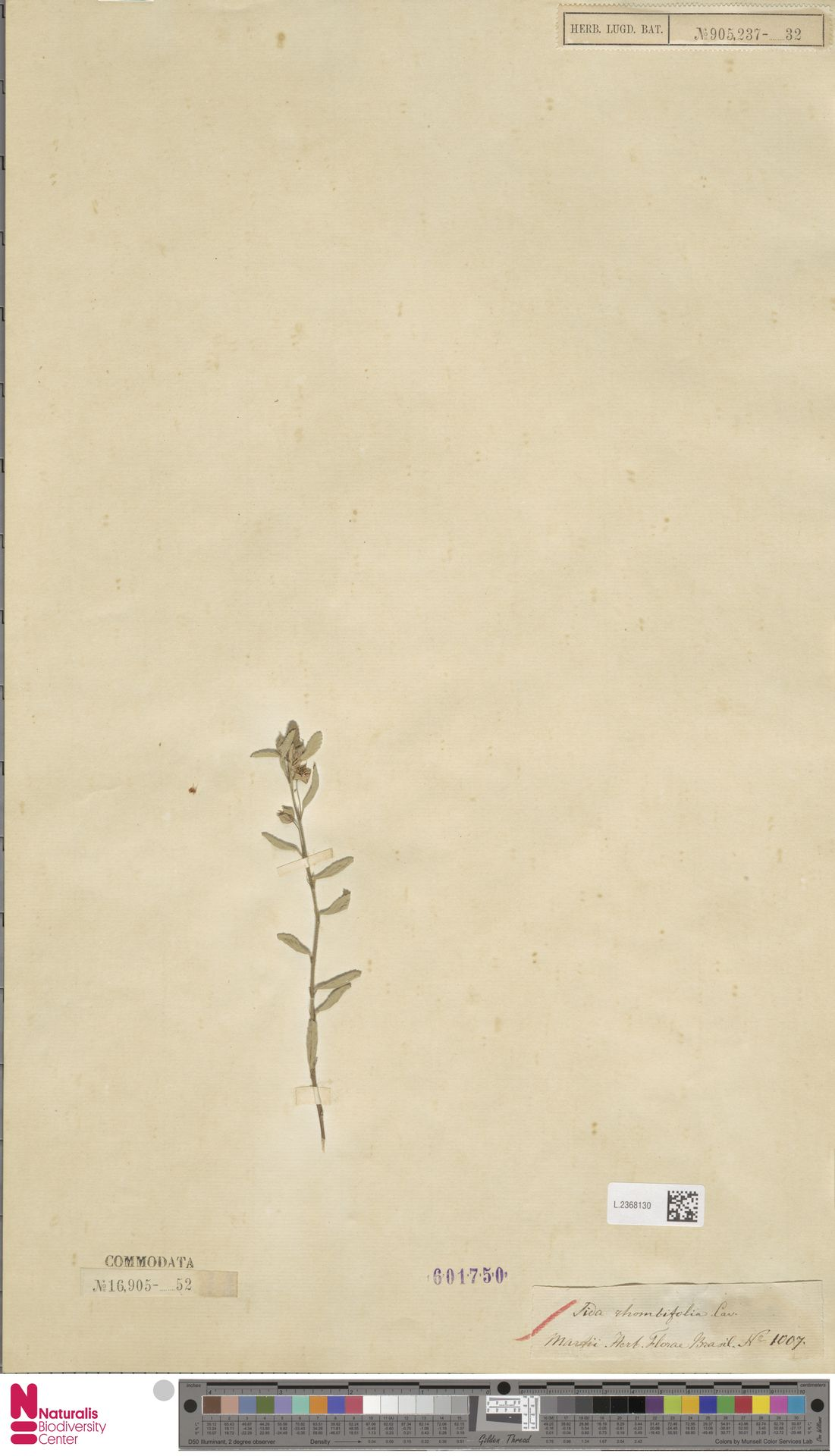 L.2368130 | Sida rhombifolia L.