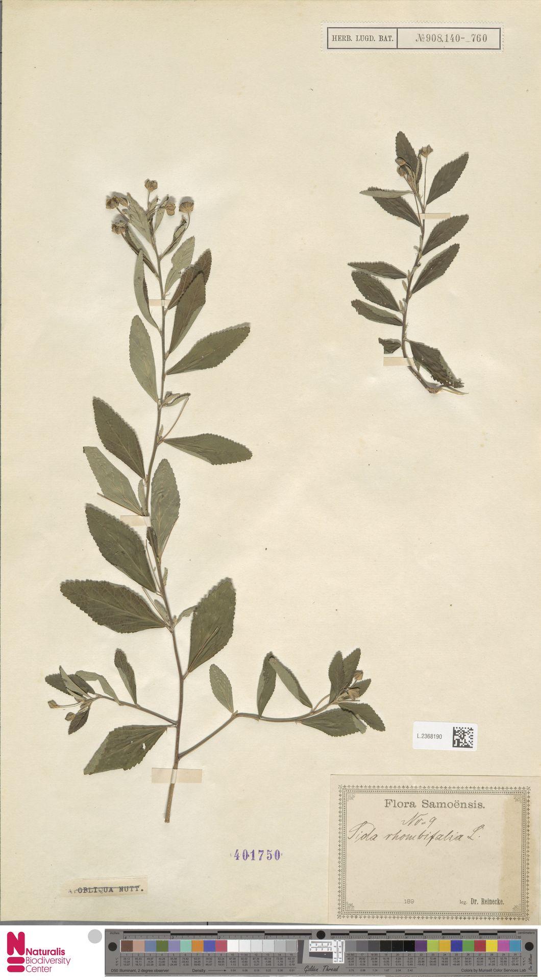 L.2368190 | Sida rhombifolia L.