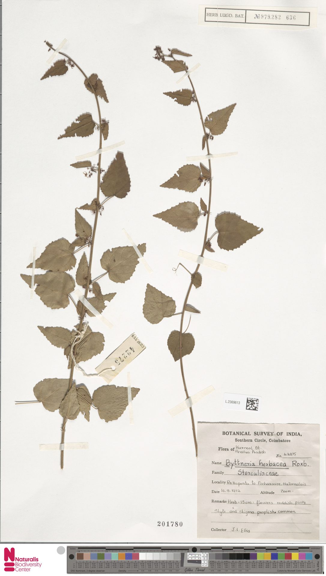 L.2369613 | Byttneria herbacea Roxb.