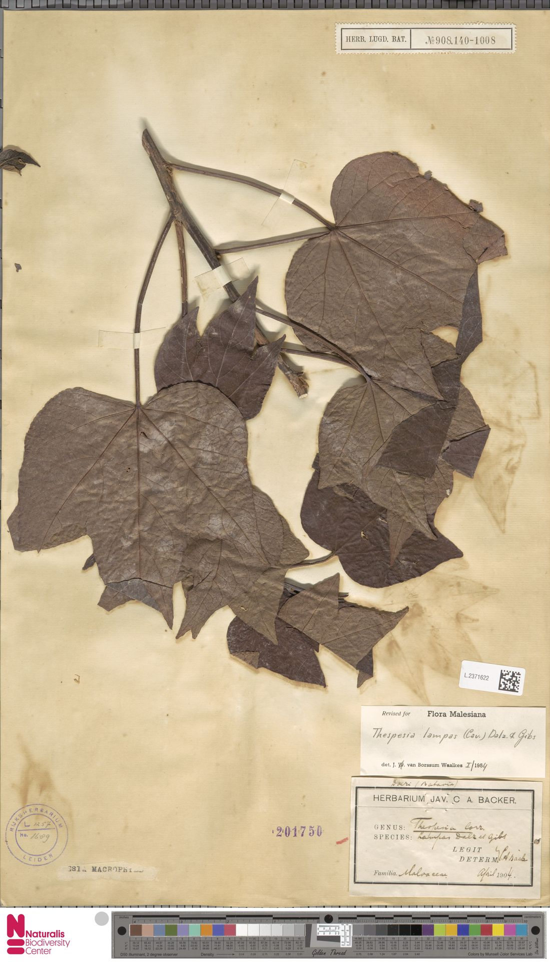 L.2371622 | Thespesia lampas (Cav.) Dalzell & A.Gibson