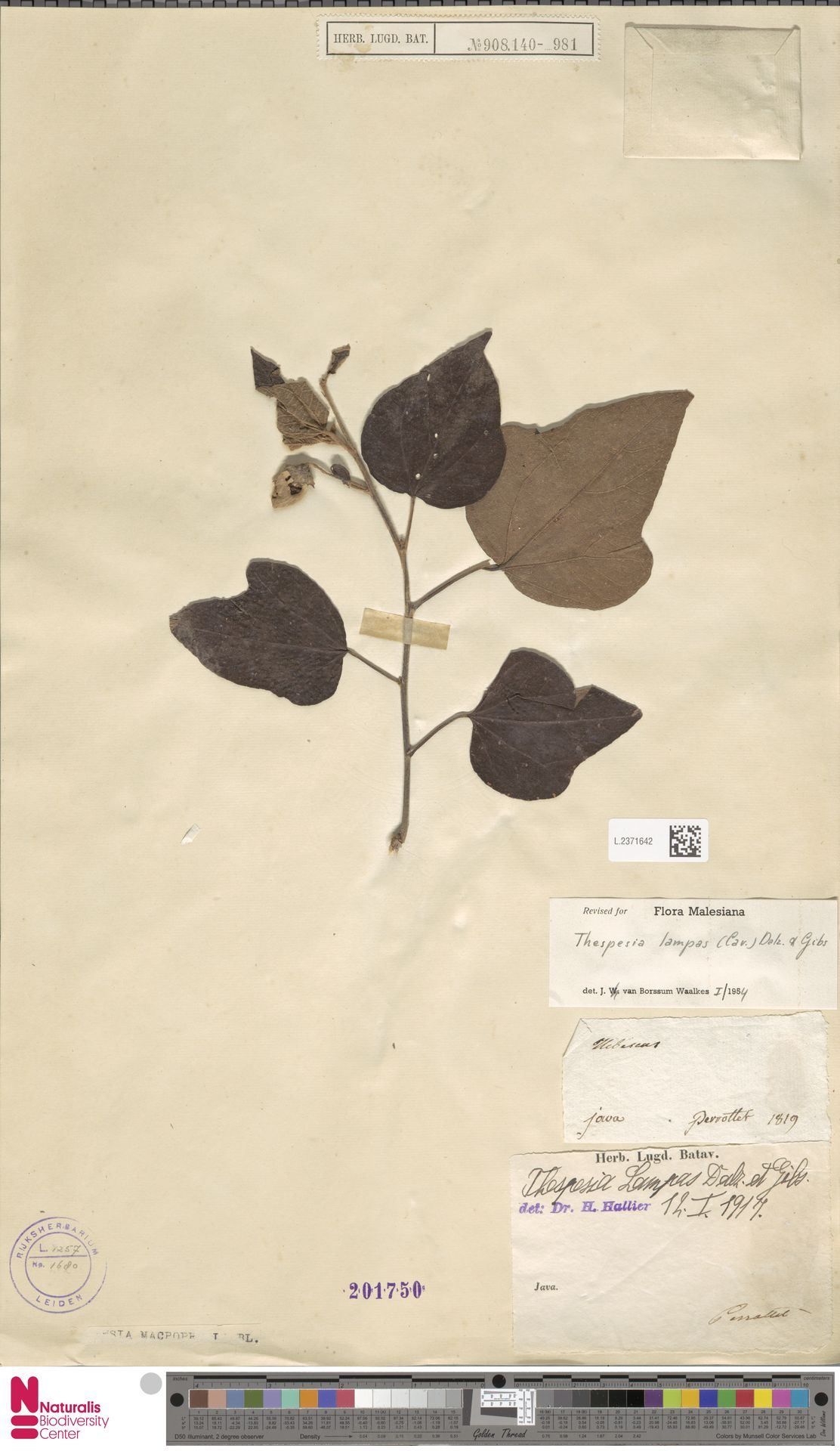 L.2371642 | Thespesia lampas (Cav.) Dalzell & A.Gibson