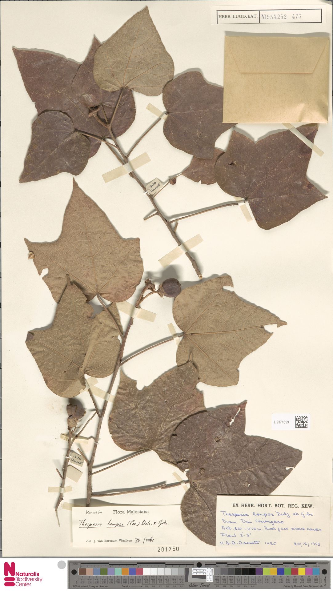 L.2371659 | Thespesia lampas (Cav.) Dalzell & A.Gibson