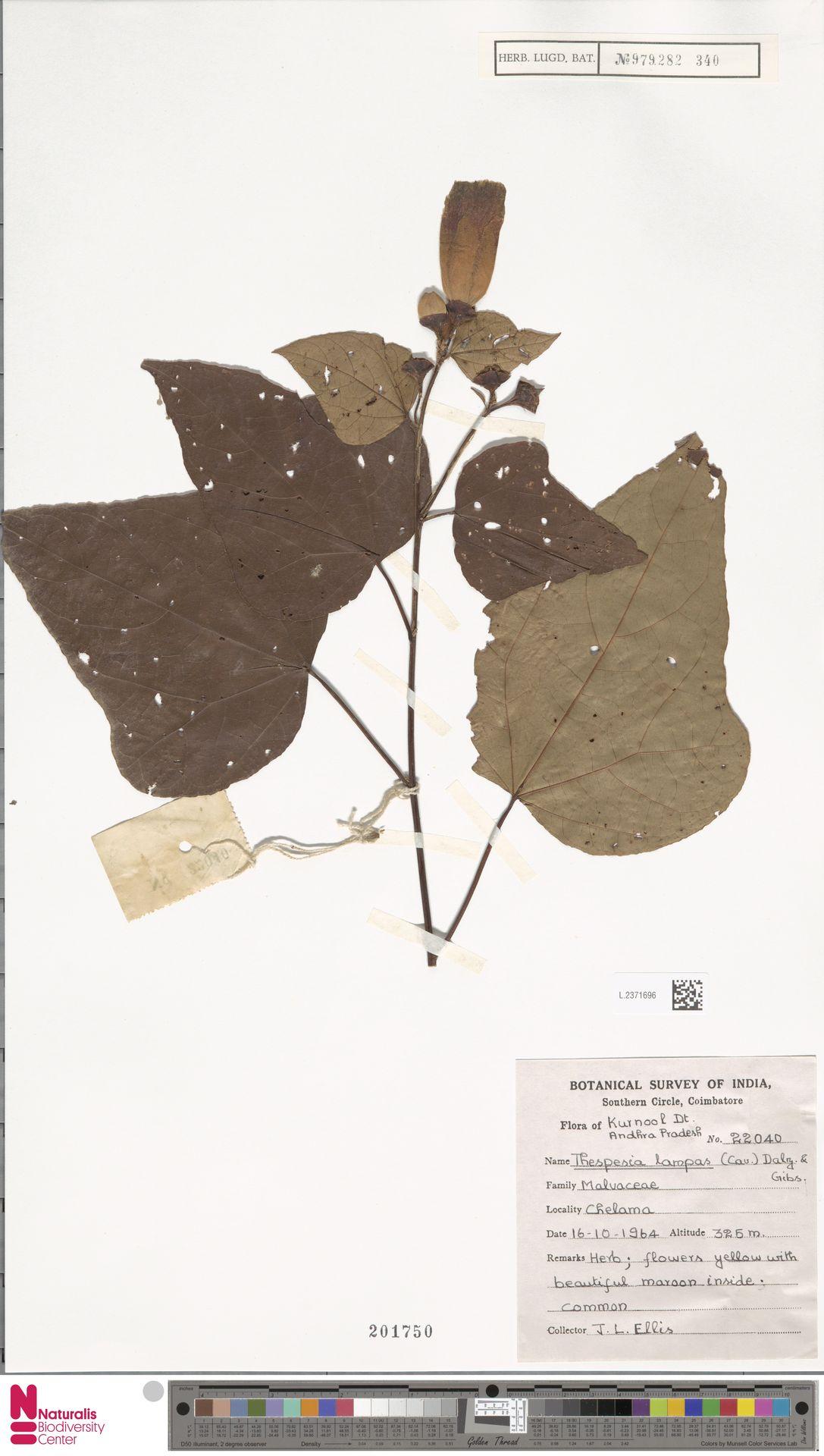 L.2371696 | Thespesia lampas (Cav.) Dalzell & A.Gibson