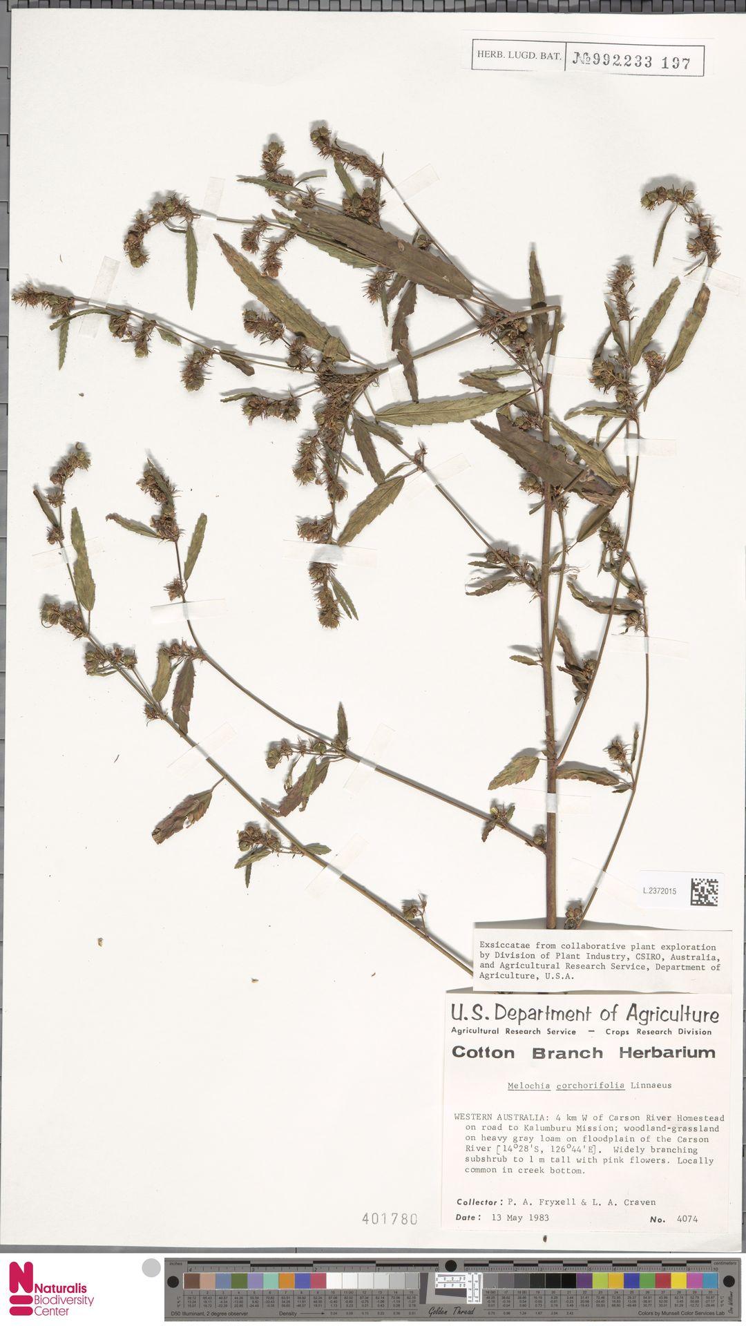 L.2372015 | Melochia corchorifolia L.