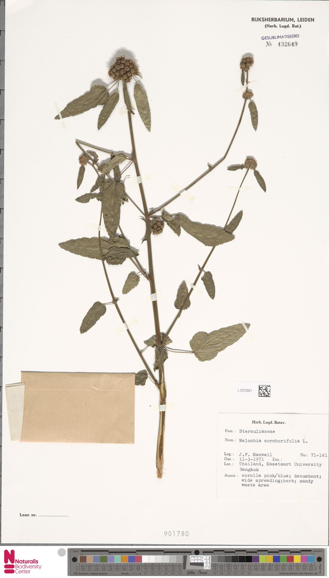 L.2372021 | Melochia corchorifolia L.