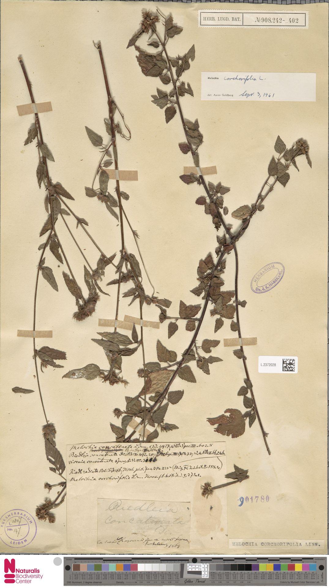 L.2372028 | Melochia corchorifolia L.