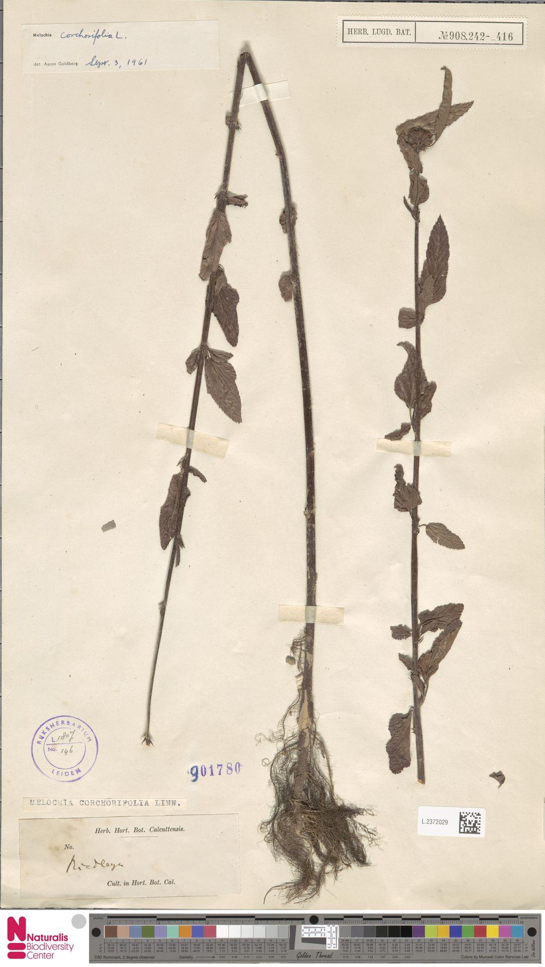 L.2372029 | Melochia corchorifolia L.