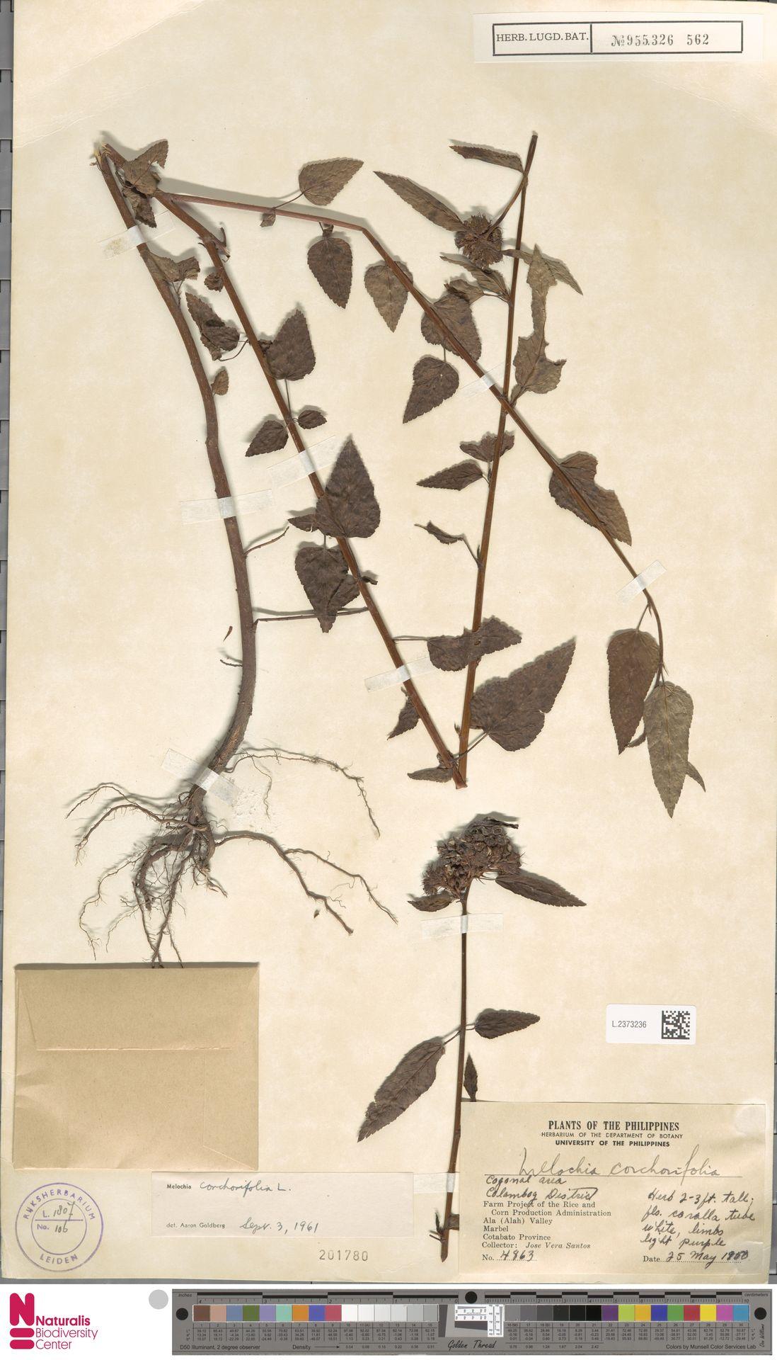 L.2373236 | Melochia corchorifolia L.