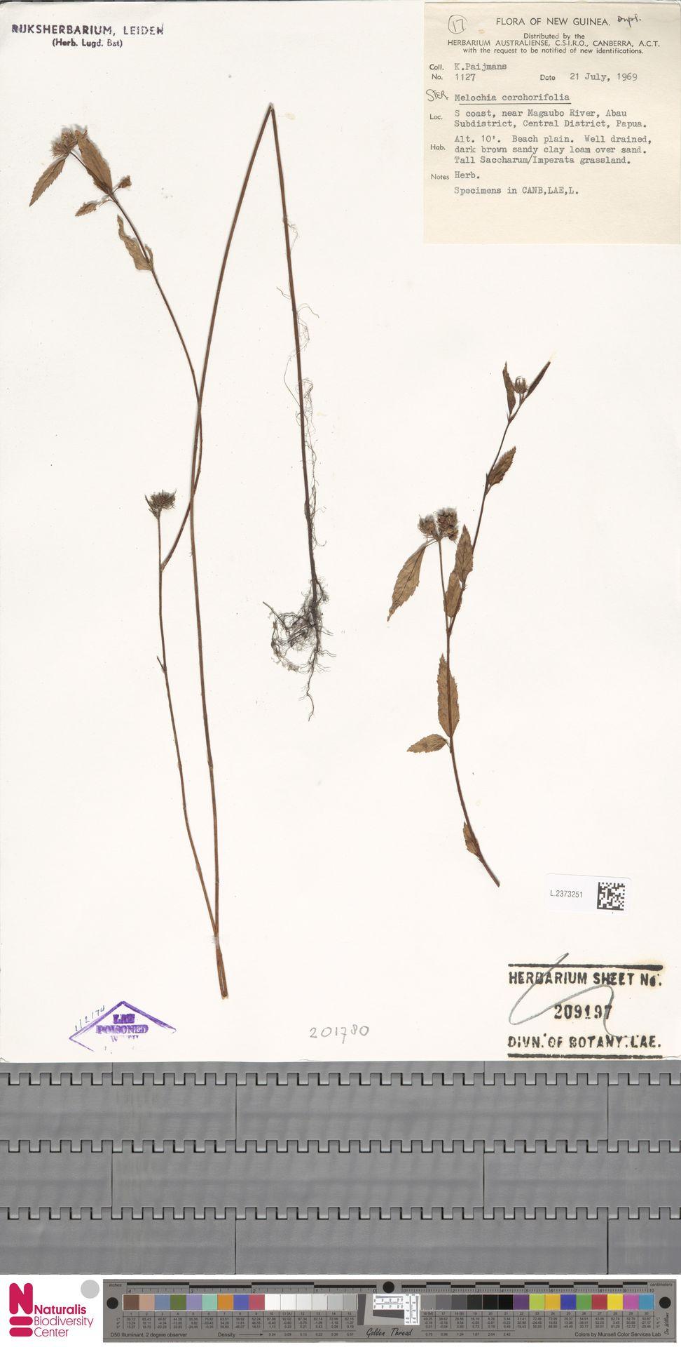 L.2373251 | Melochia corchorifolia L.