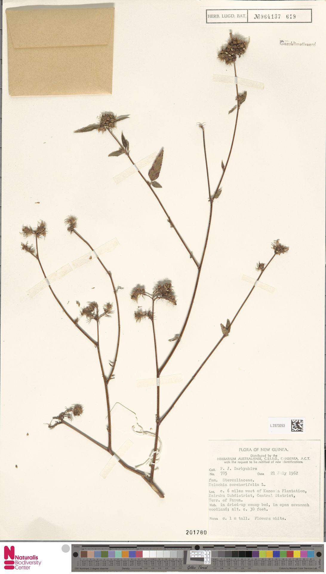 L.2373253 | Melochia corchorifolia L.