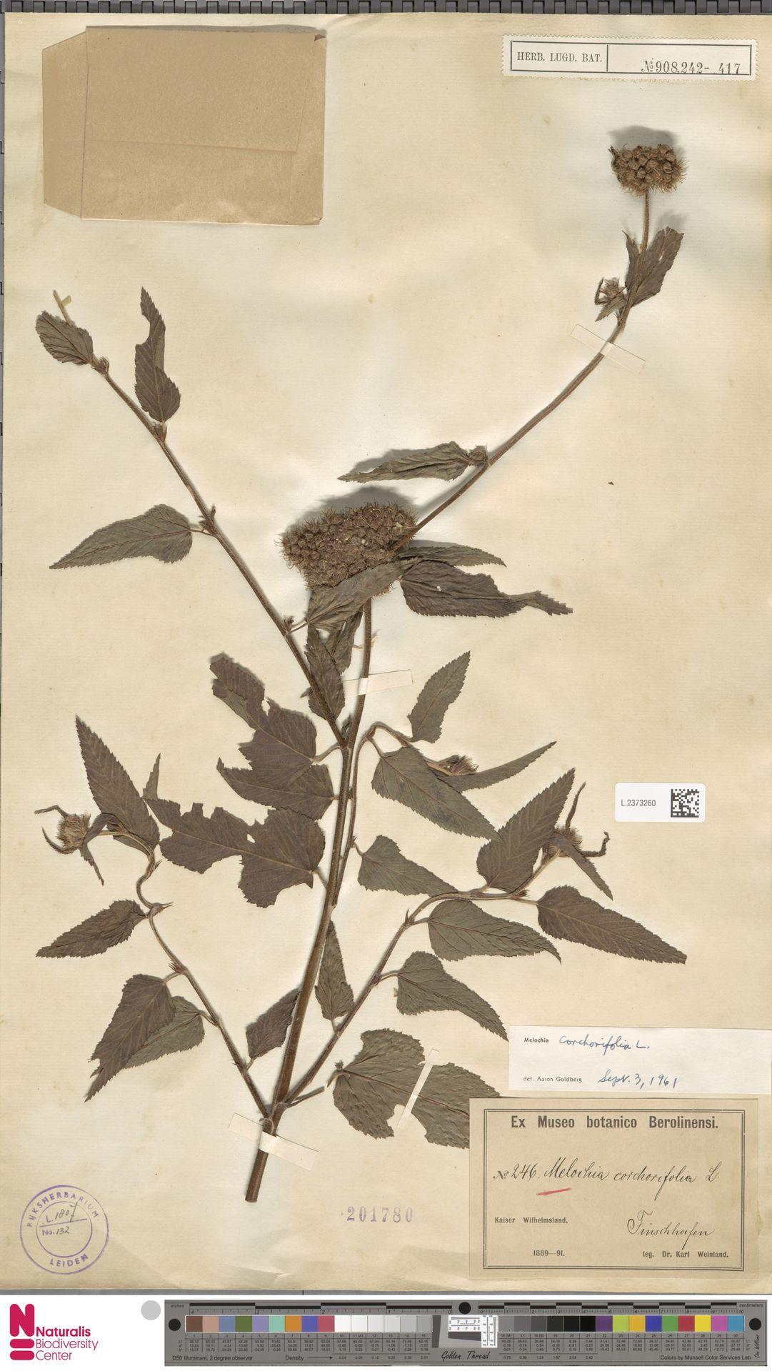 L.2373260 | Melochia corchorifolia L.