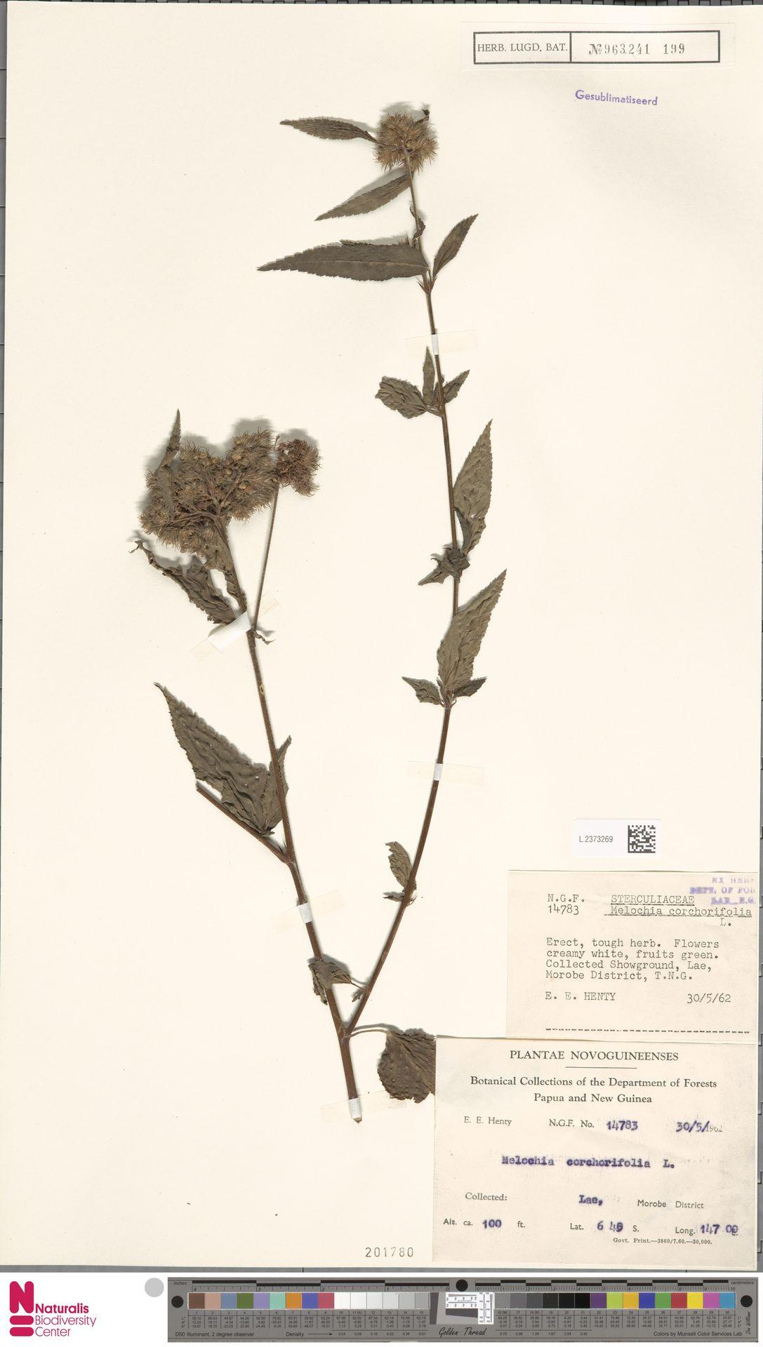 L.2373269 | Melochia corchorifolia L.