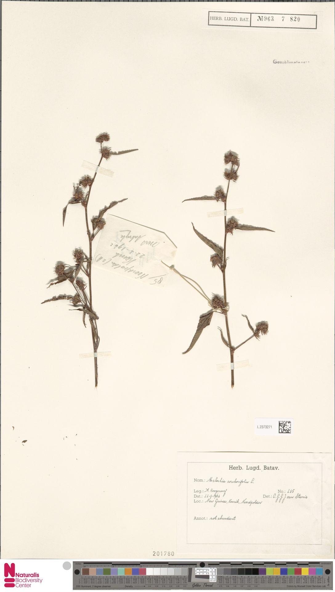 L.2373271 | Melochia corchorifolia L.
