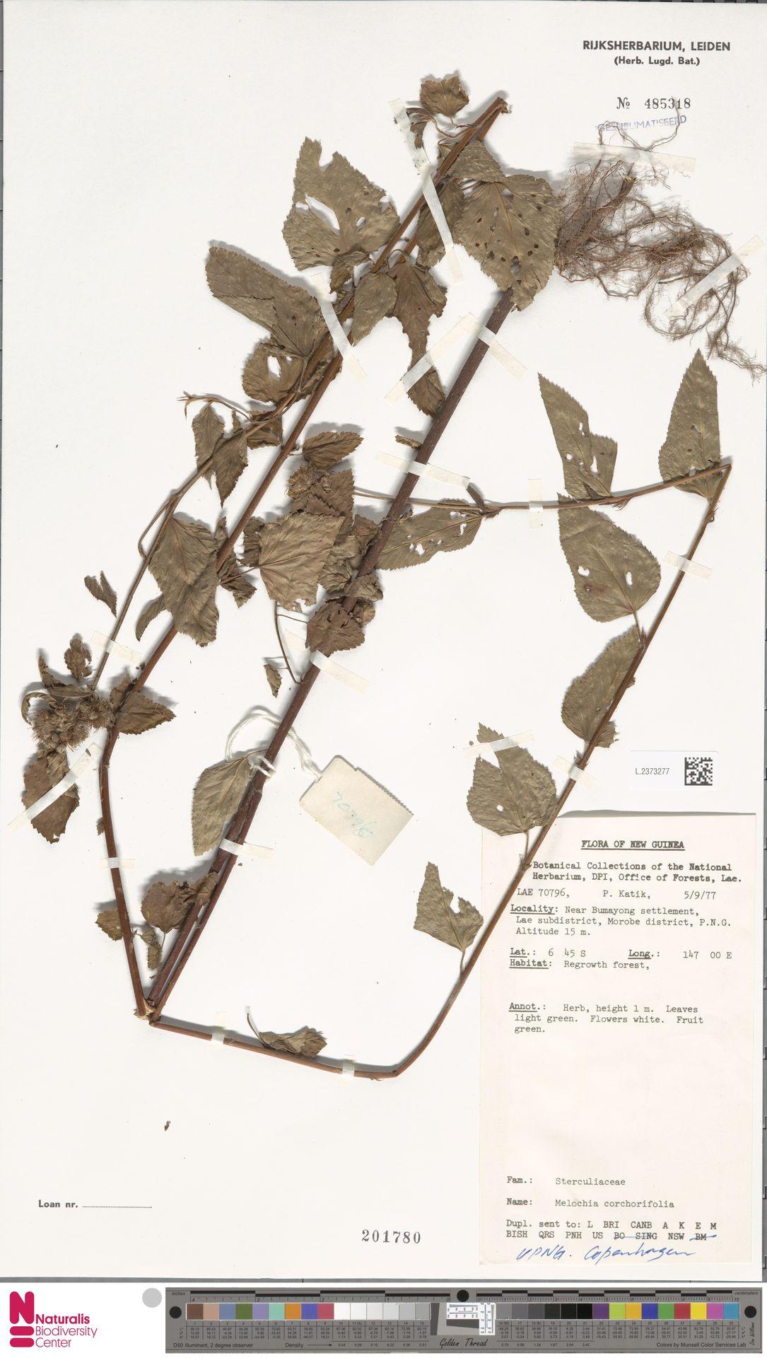 L.2373277 | Melochia corchorifolia L.