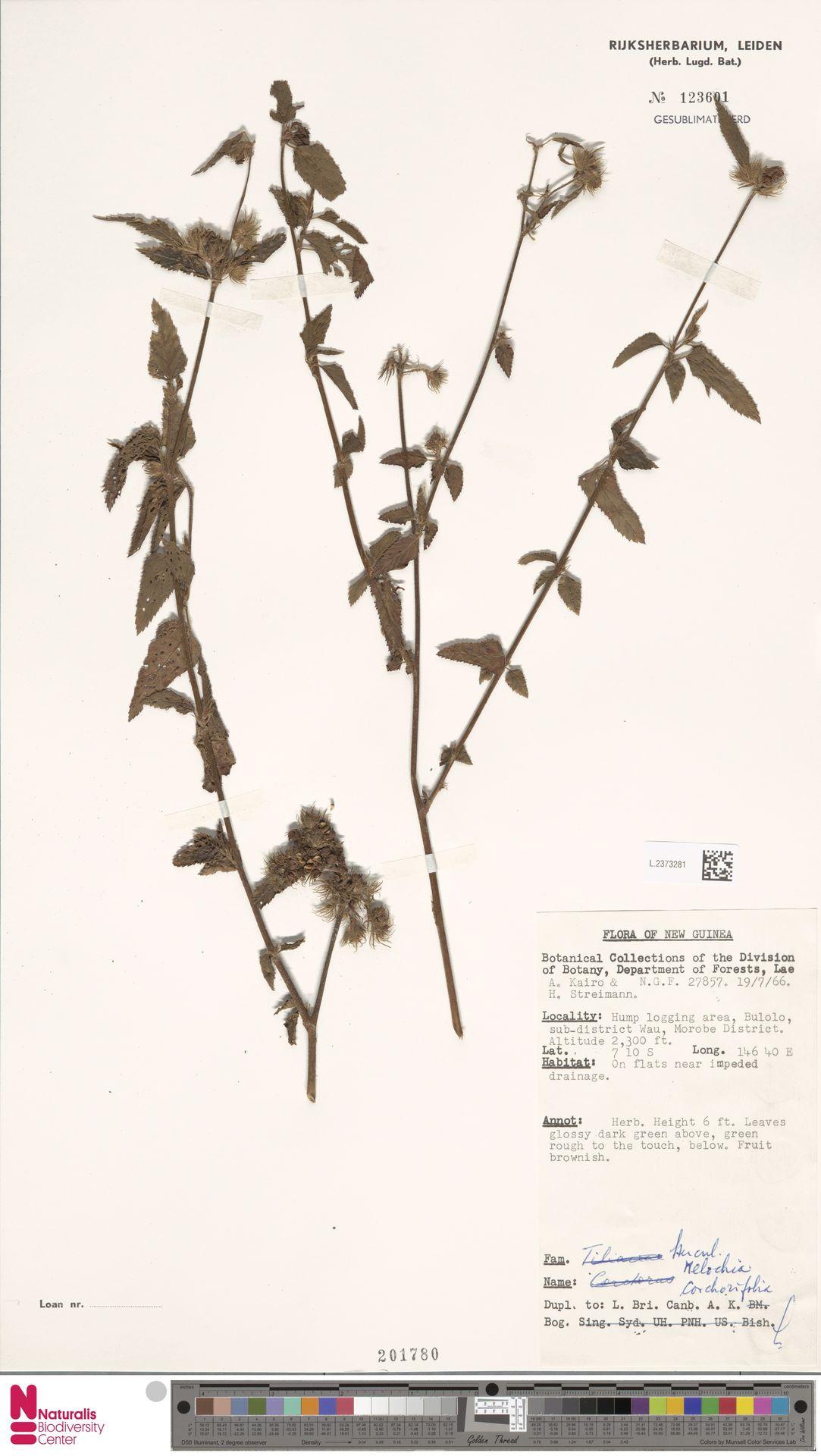 L.2373281 | Melochia corchorifolia L.