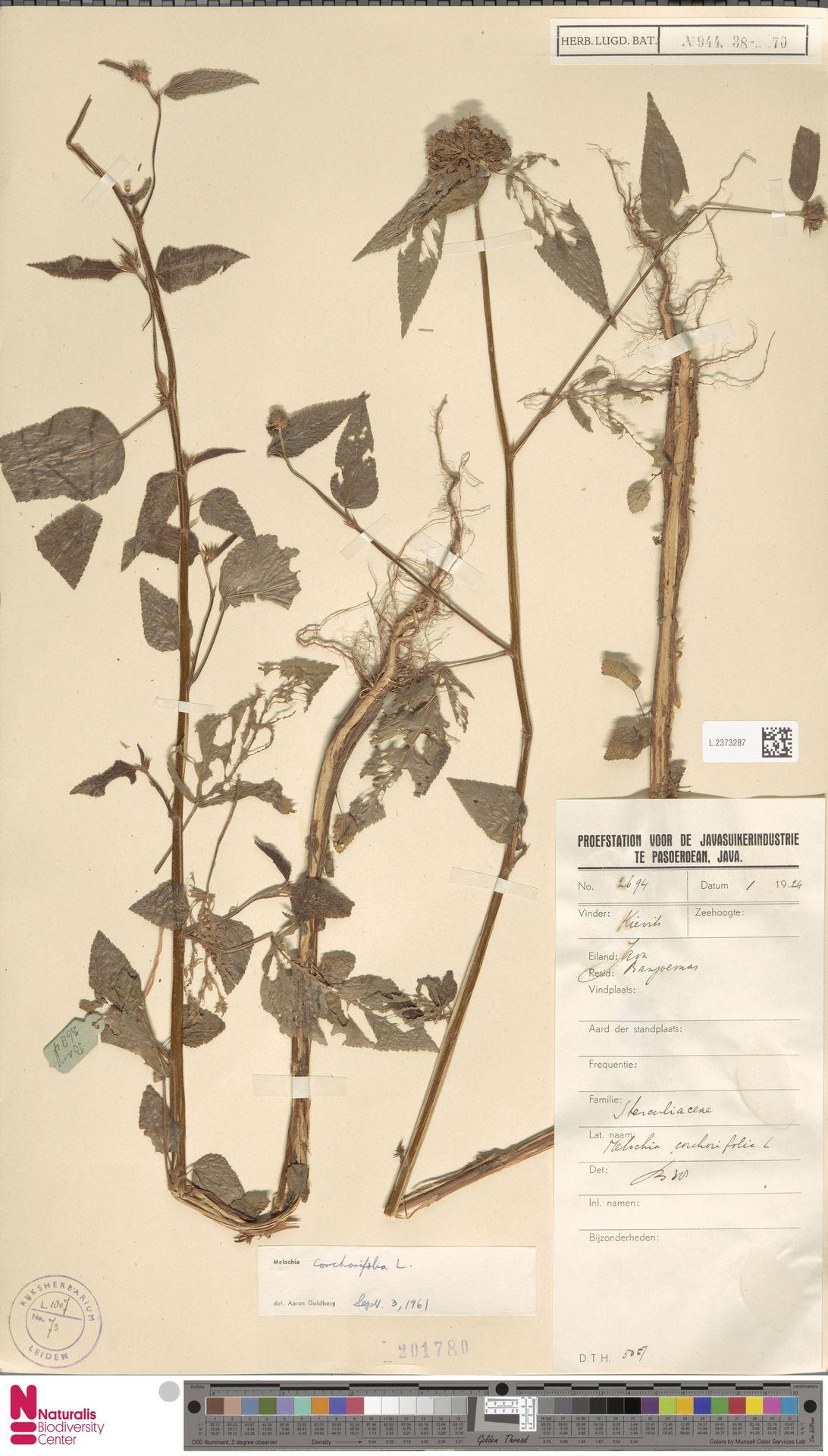 L.2373287 | Melochia corchorifolia L.