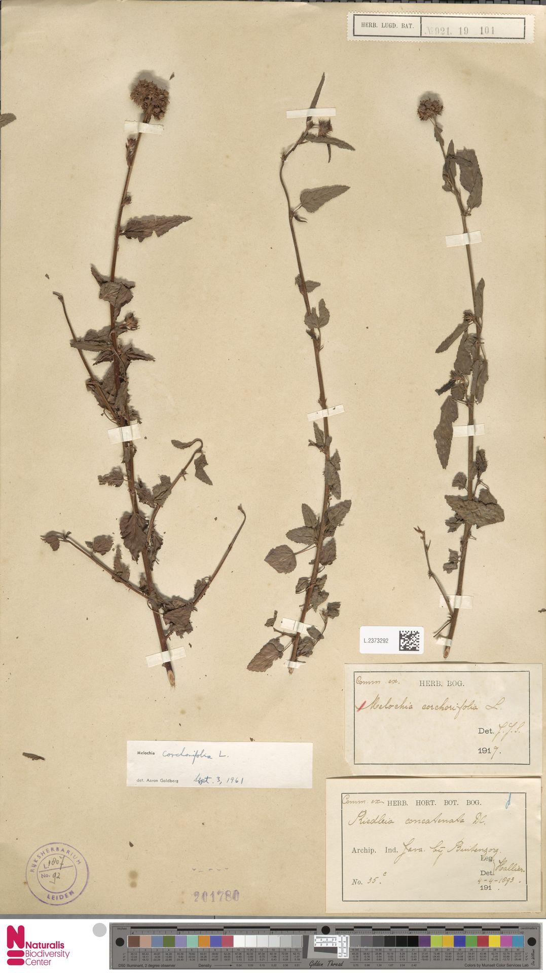 L.2373292 | Melochia corchorifolia L.