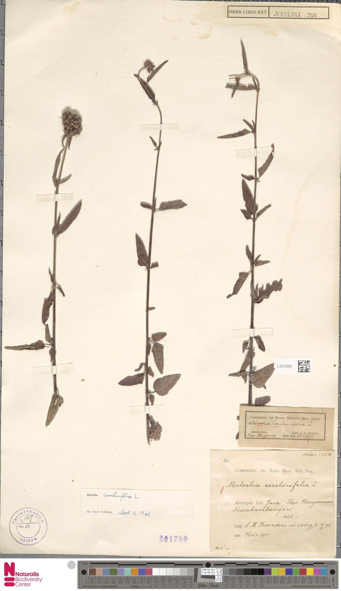 L.2373300   Melochia corchorifolia L.