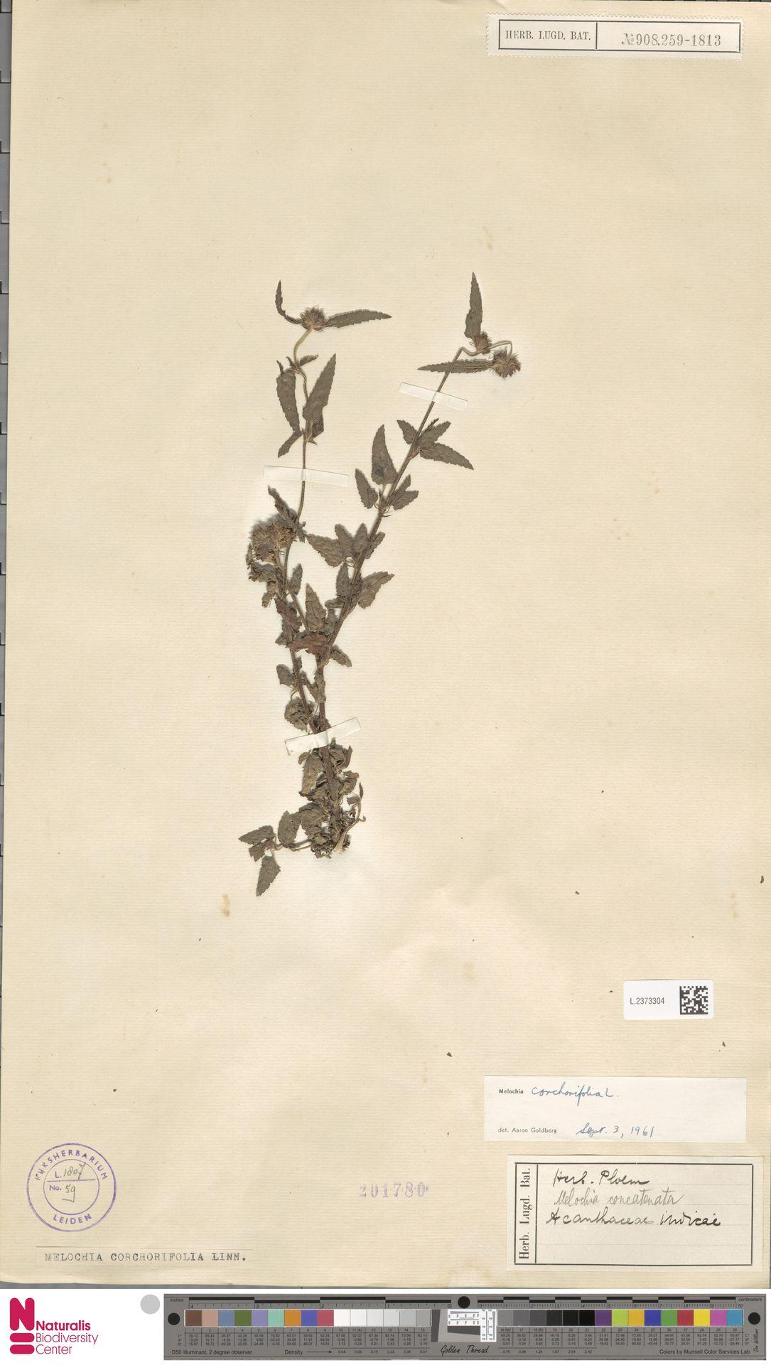 L.2373304 | Melochia corchorifolia L.
