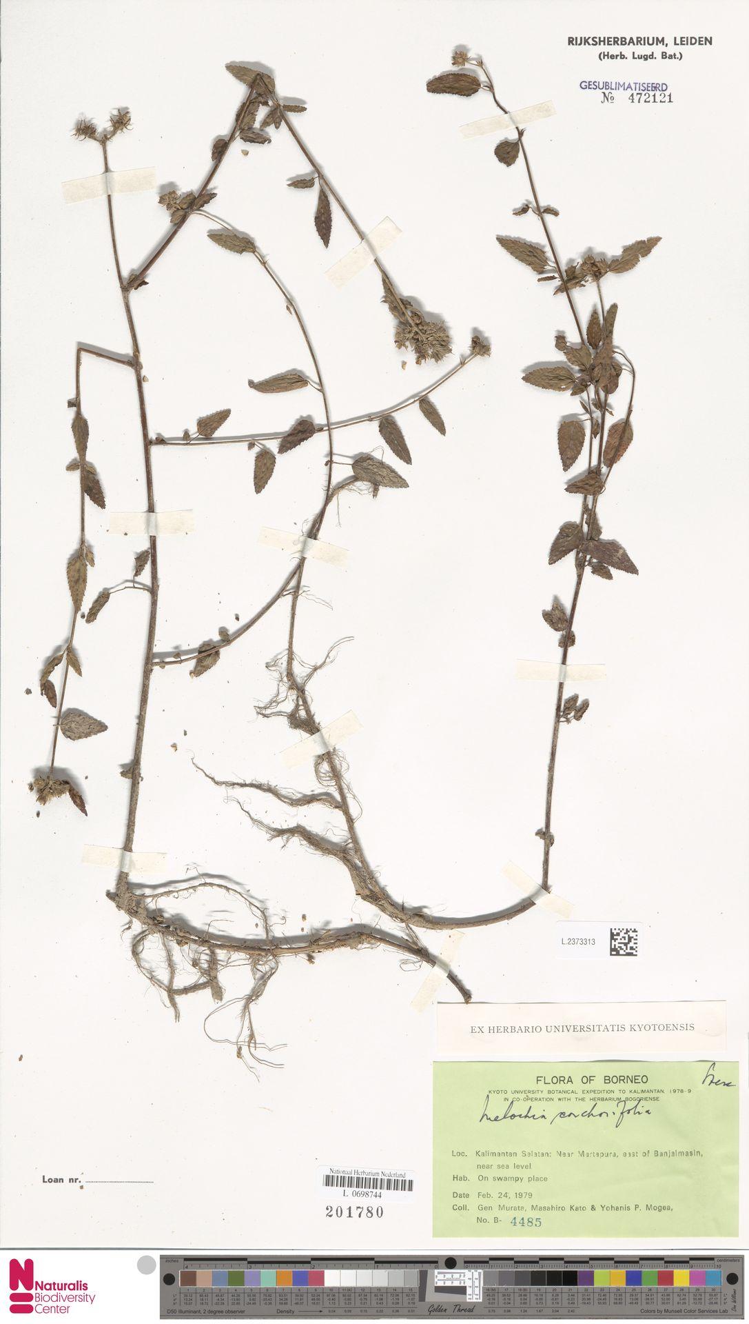 L.2373313 | Melochia corchorifolia L.