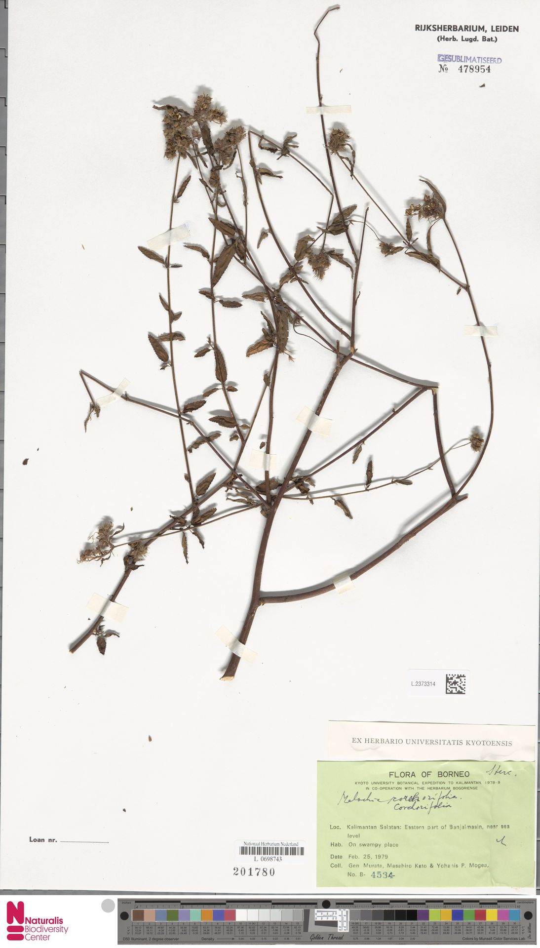 L.2373314   Melochia corchorifolia L.