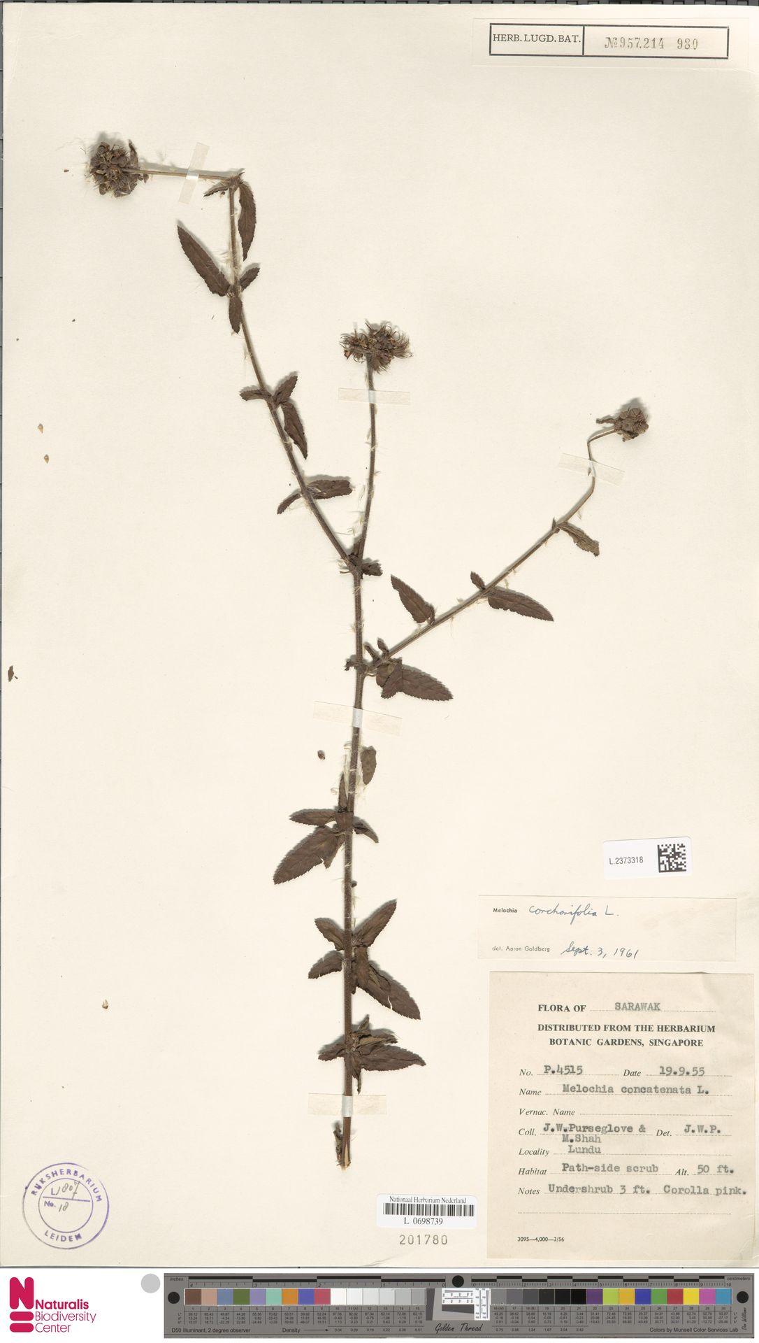 L.2373318 | Melochia corchorifolia L.