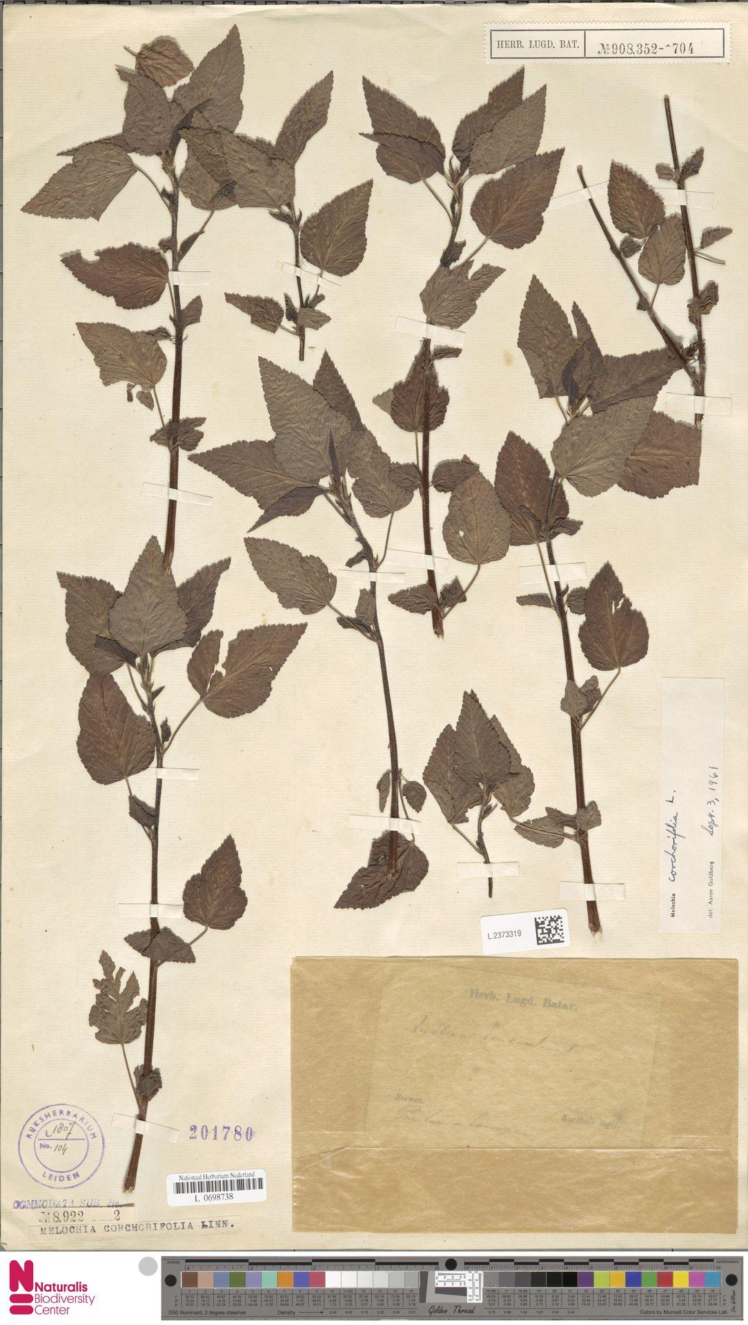 L.2373319 | Melochia corchorifolia L.