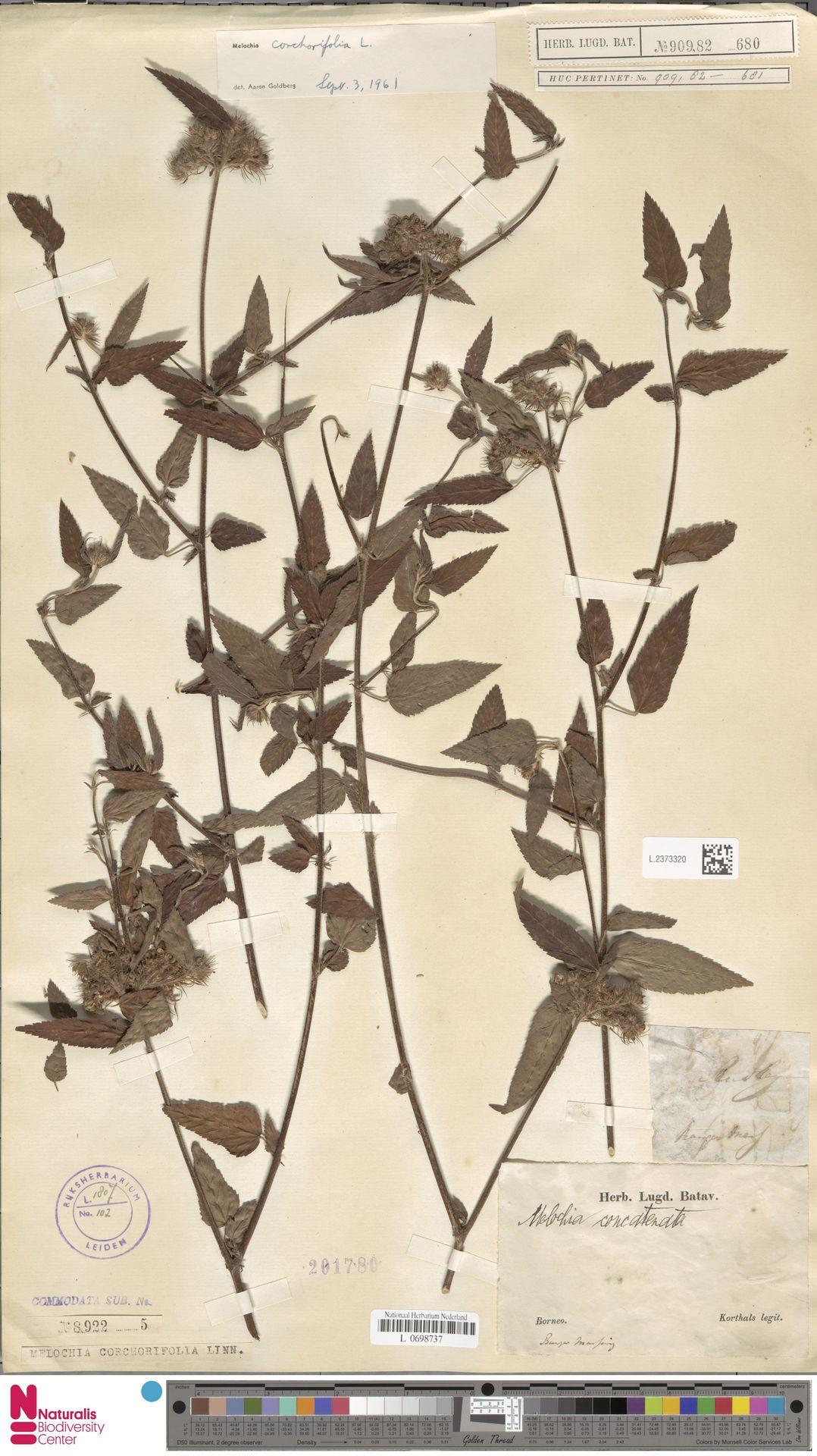 L.2373320 | Melochia corchorifolia L.