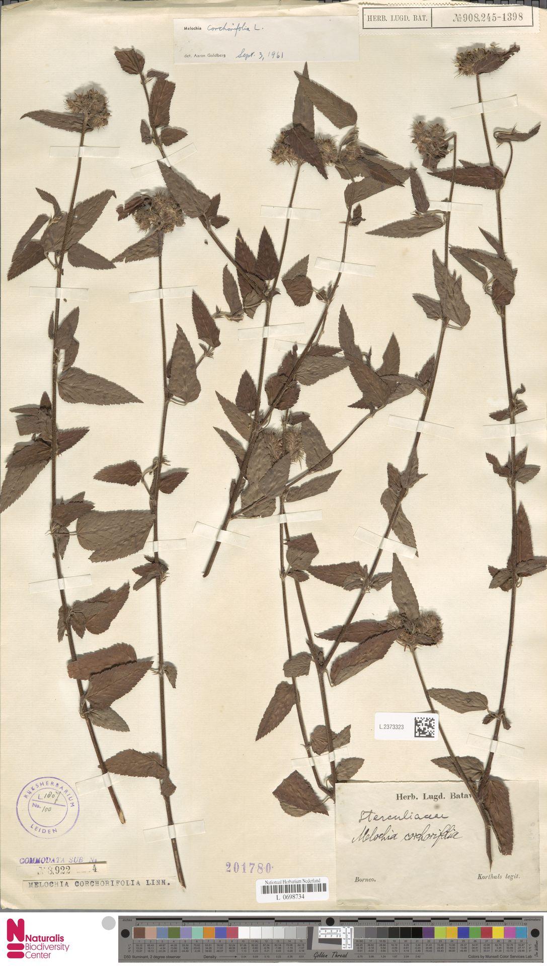 L.2373323   Melochia corchorifolia L.