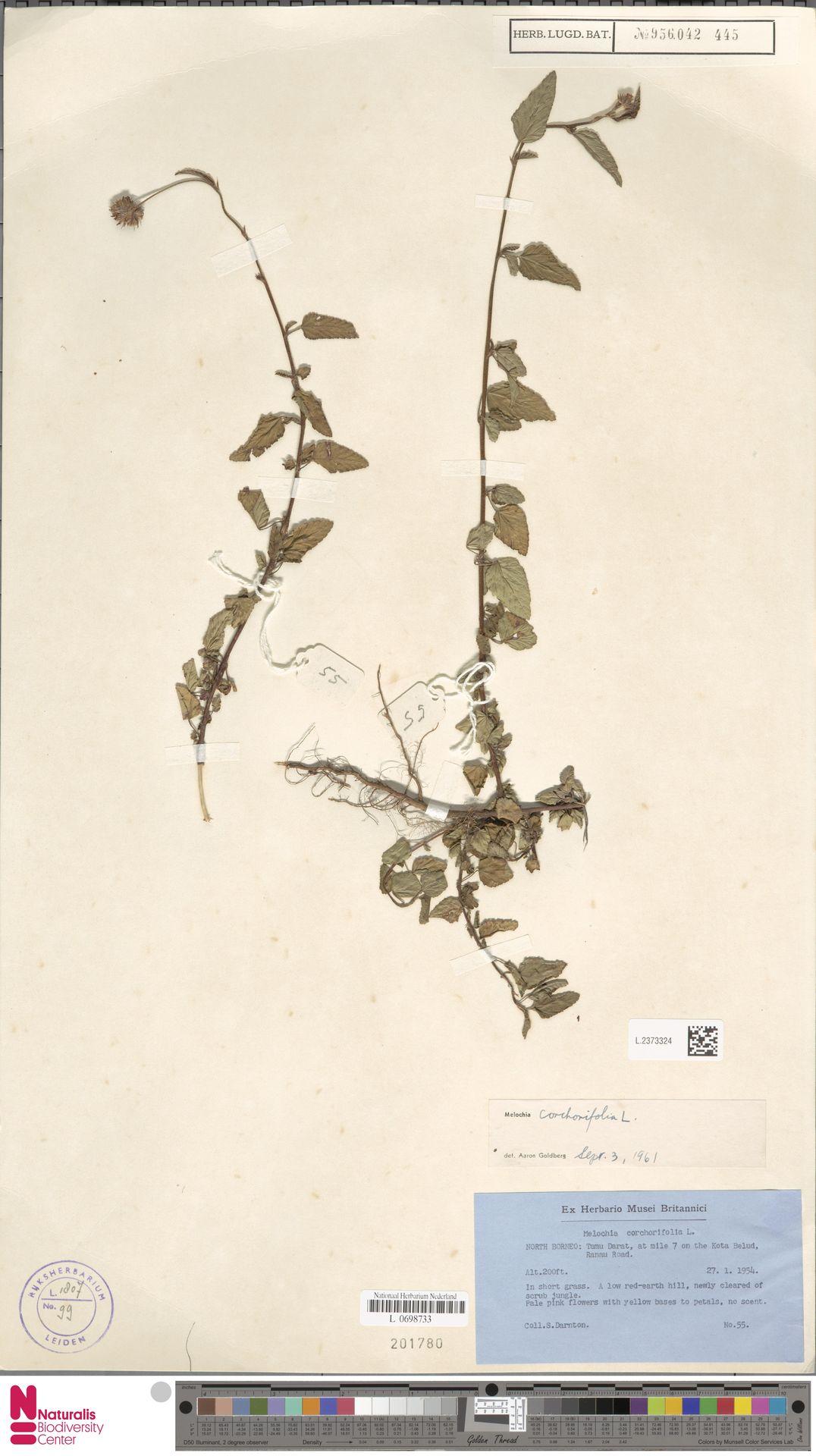 L.2373324   Melochia corchorifolia L.