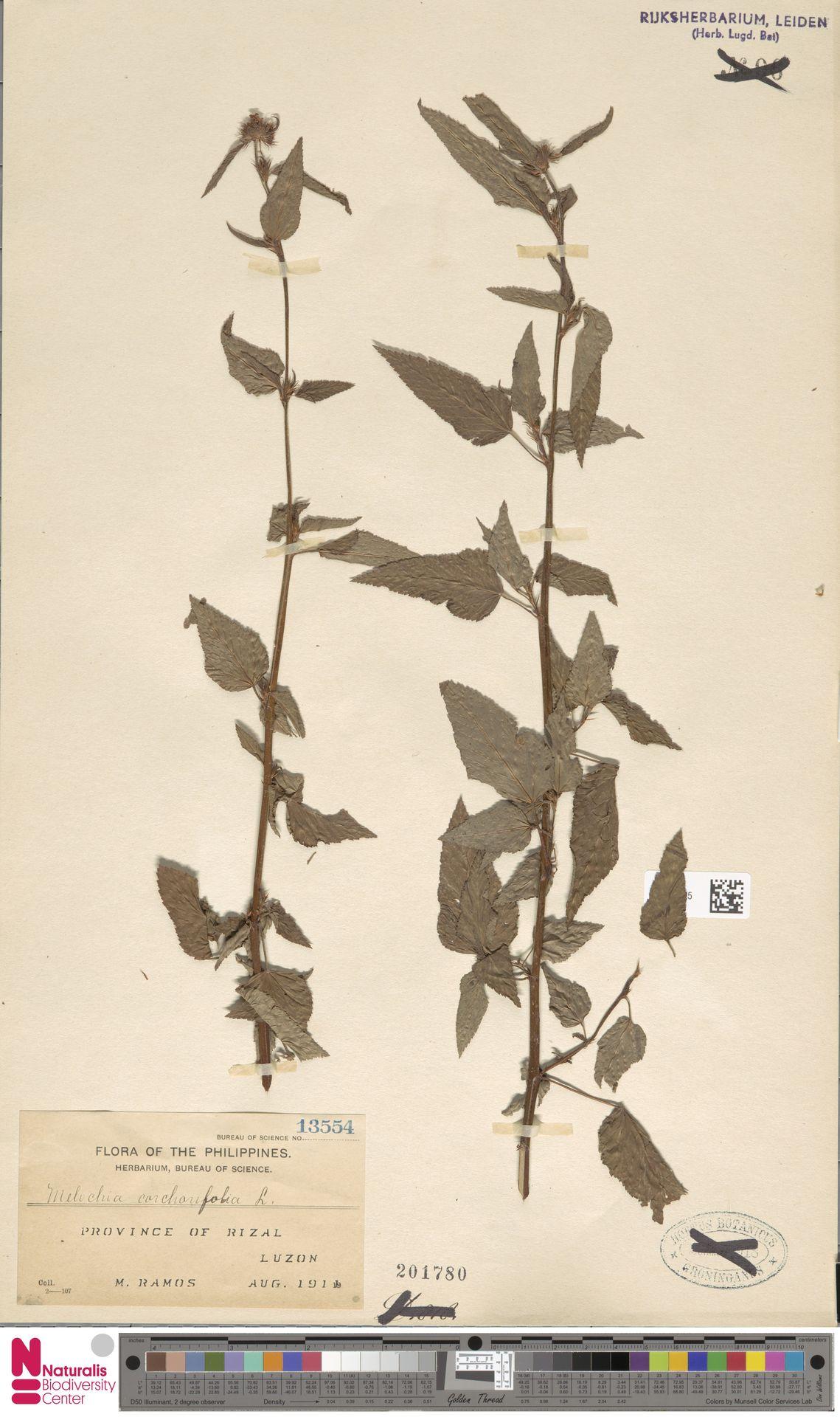 L.2373325   Melochia corchorifolia L.
