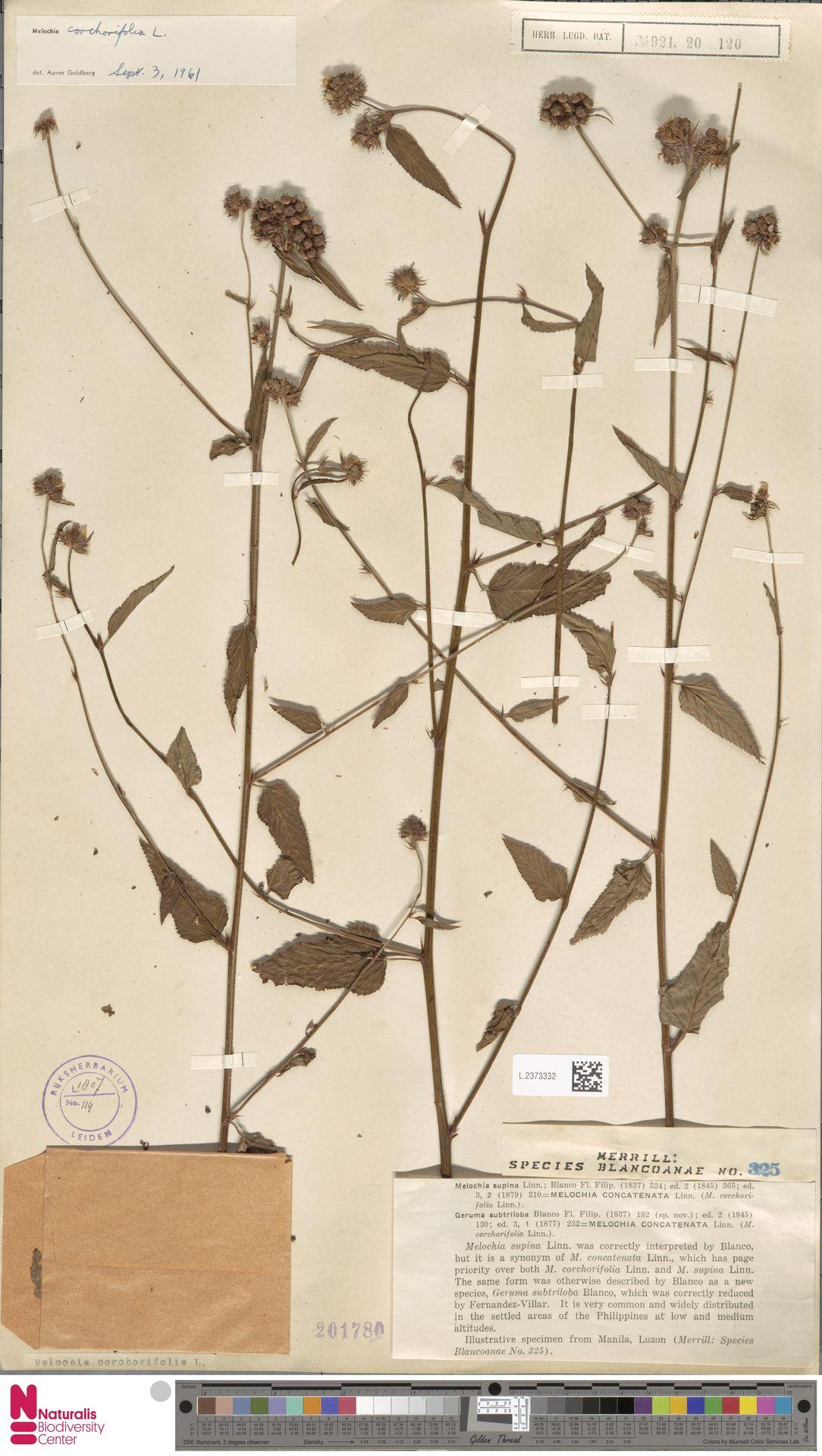 L.2373332   Melochia corchorifolia L.