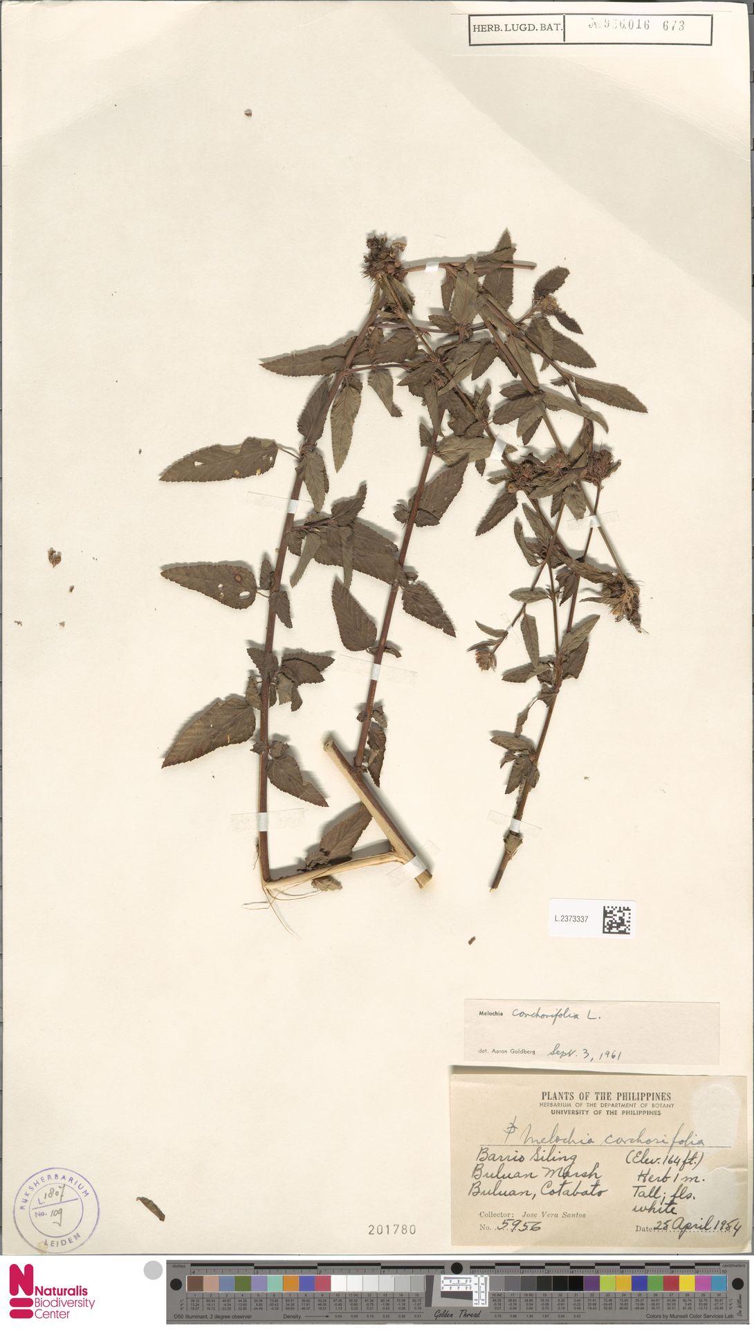 L.2373337   Melochia corchorifolia L.