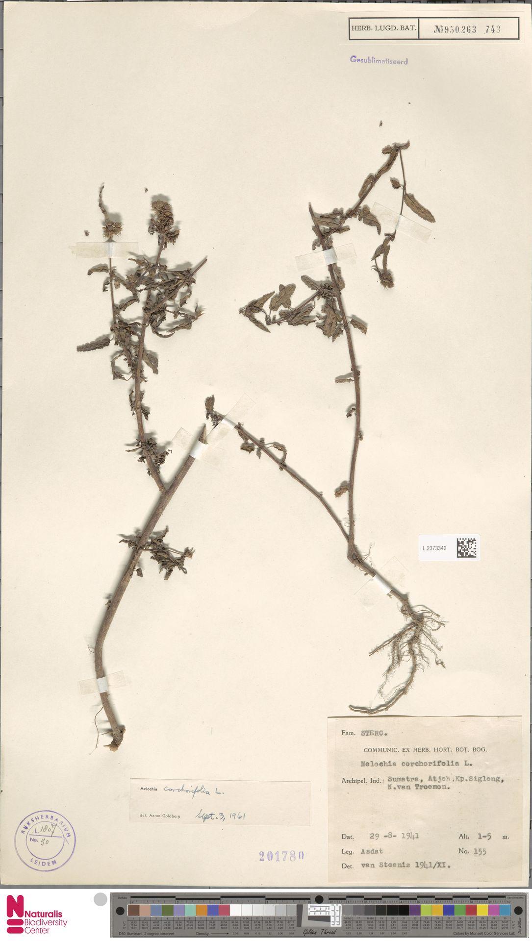 L.2373342 | Melochia corchorifolia L.