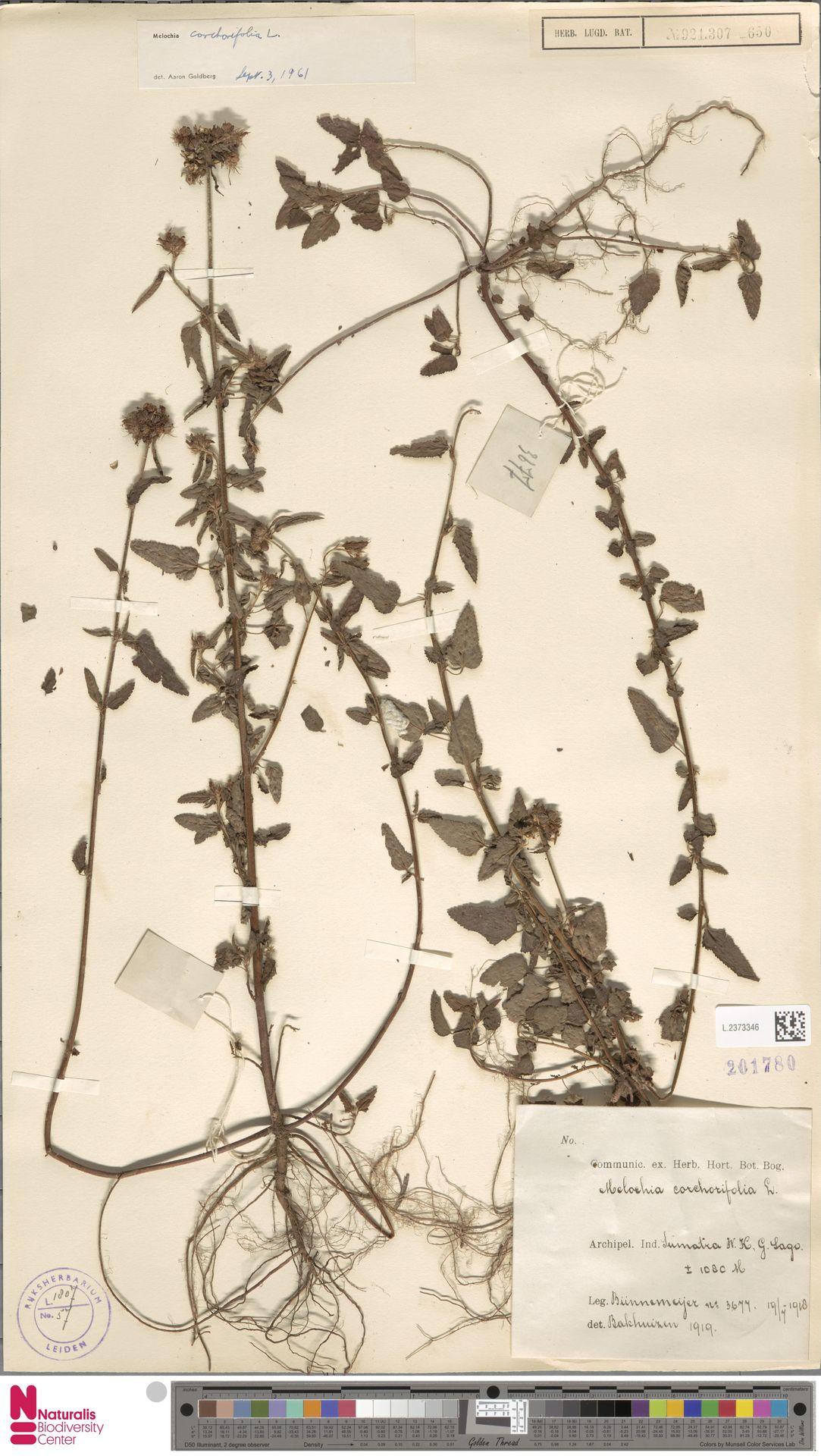 L.2373346 | Melochia corchorifolia L.