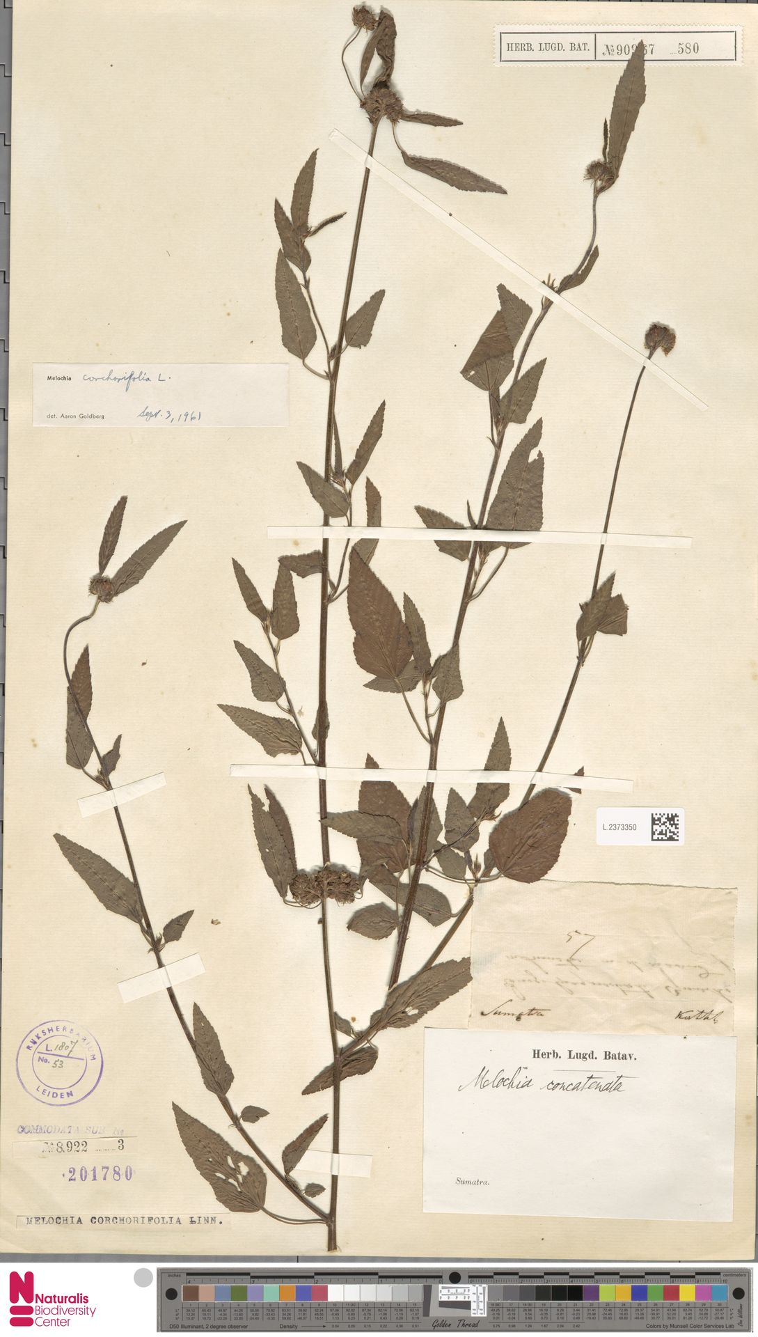 L.2373350 | Melochia corchorifolia L.