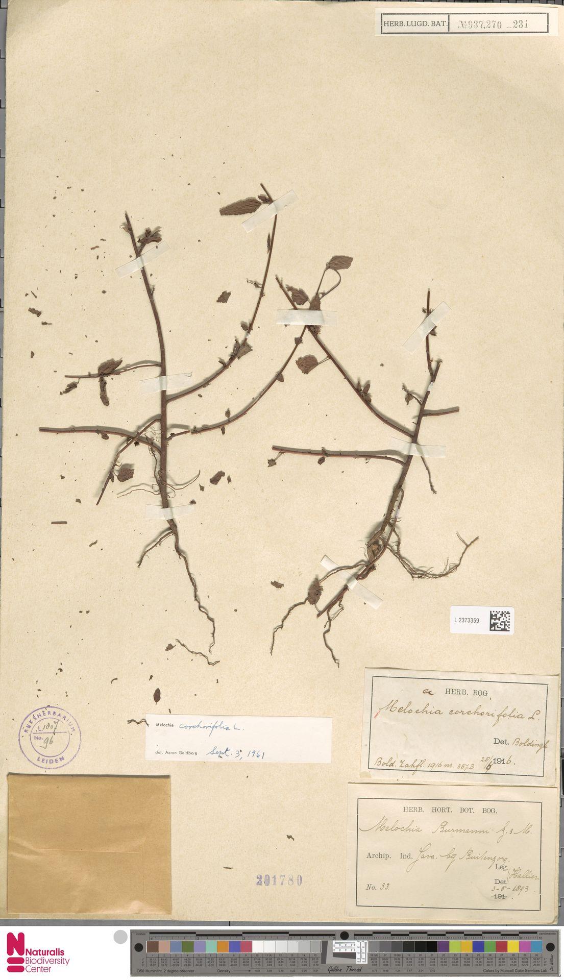 L.2373359 | Melochia corchorifolia L.