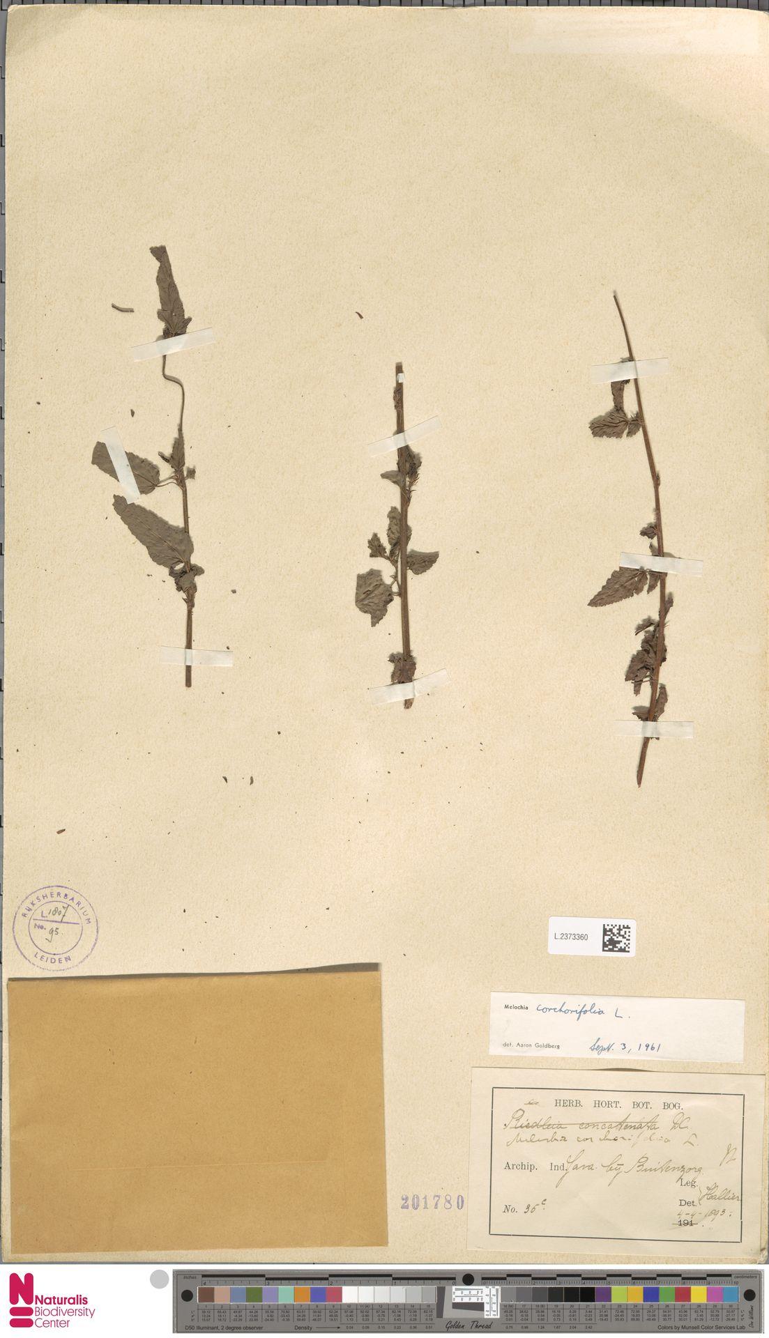 L.2373360 | Melochia corchorifolia L.