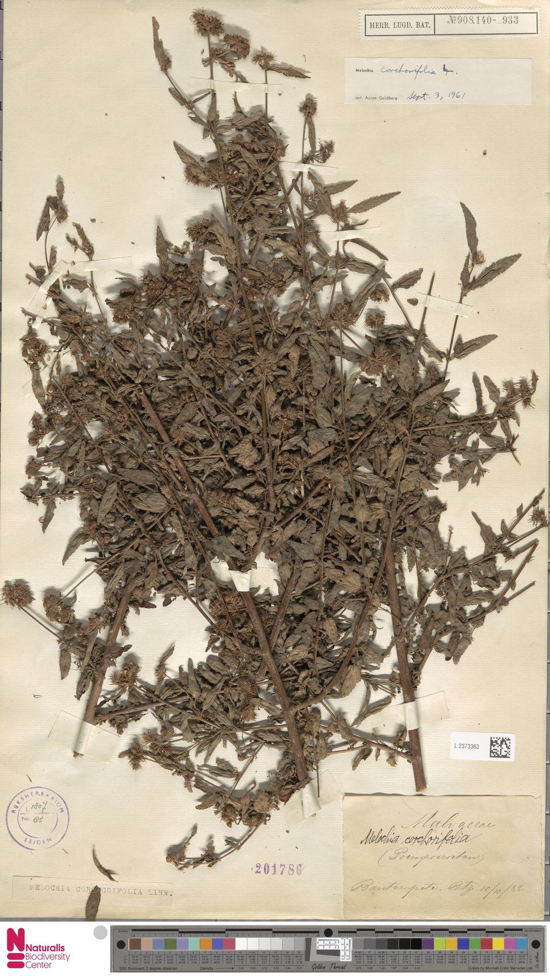 L.2373363 | Melochia corchorifolia L.