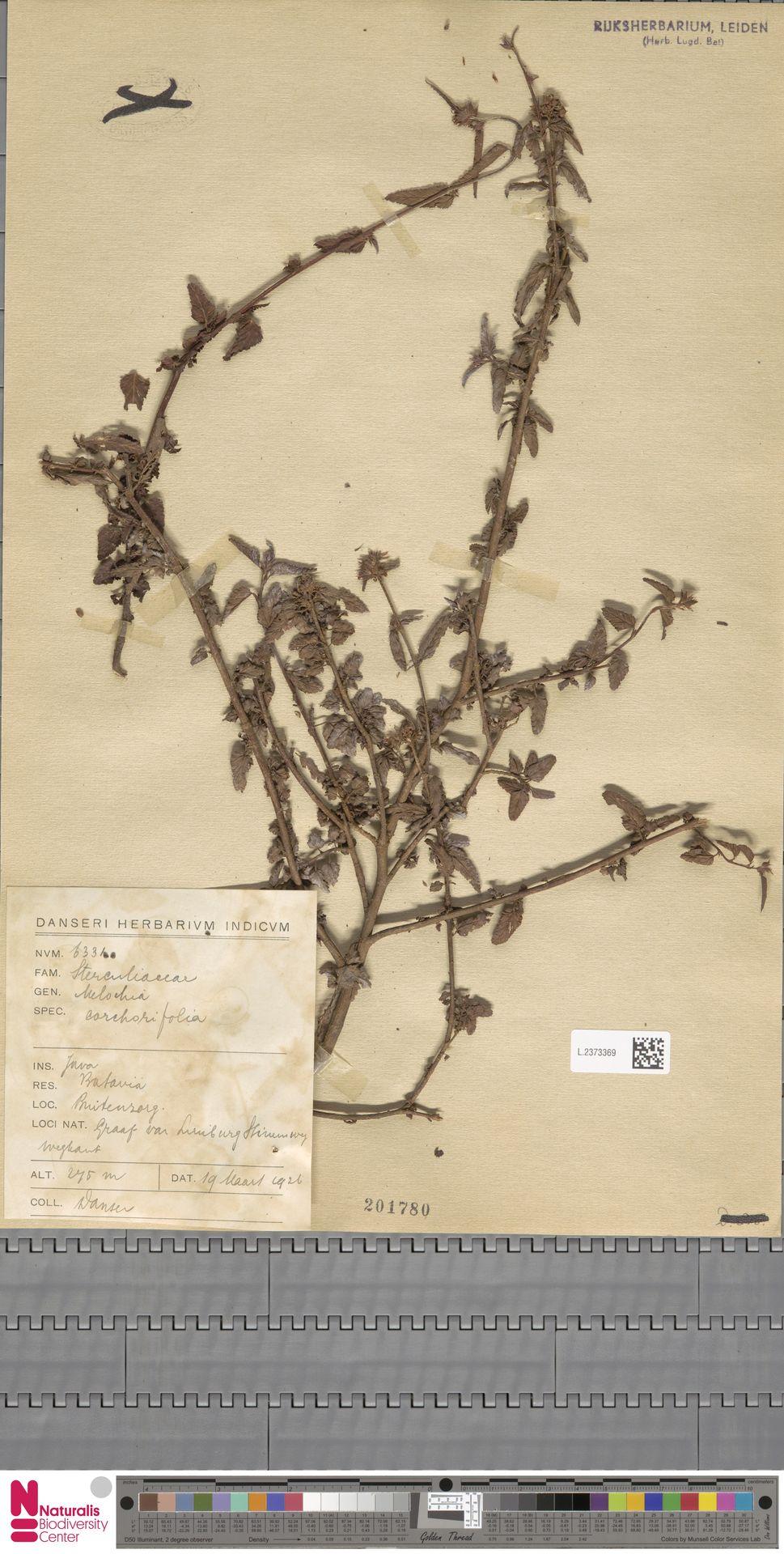 L.2373369 | Melochia corchorifolia L.