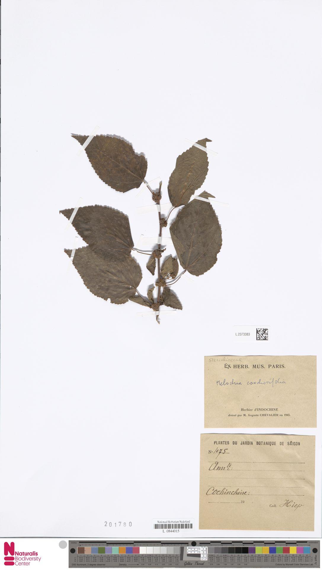 L.2373383 | Melochia corchorifolia L.