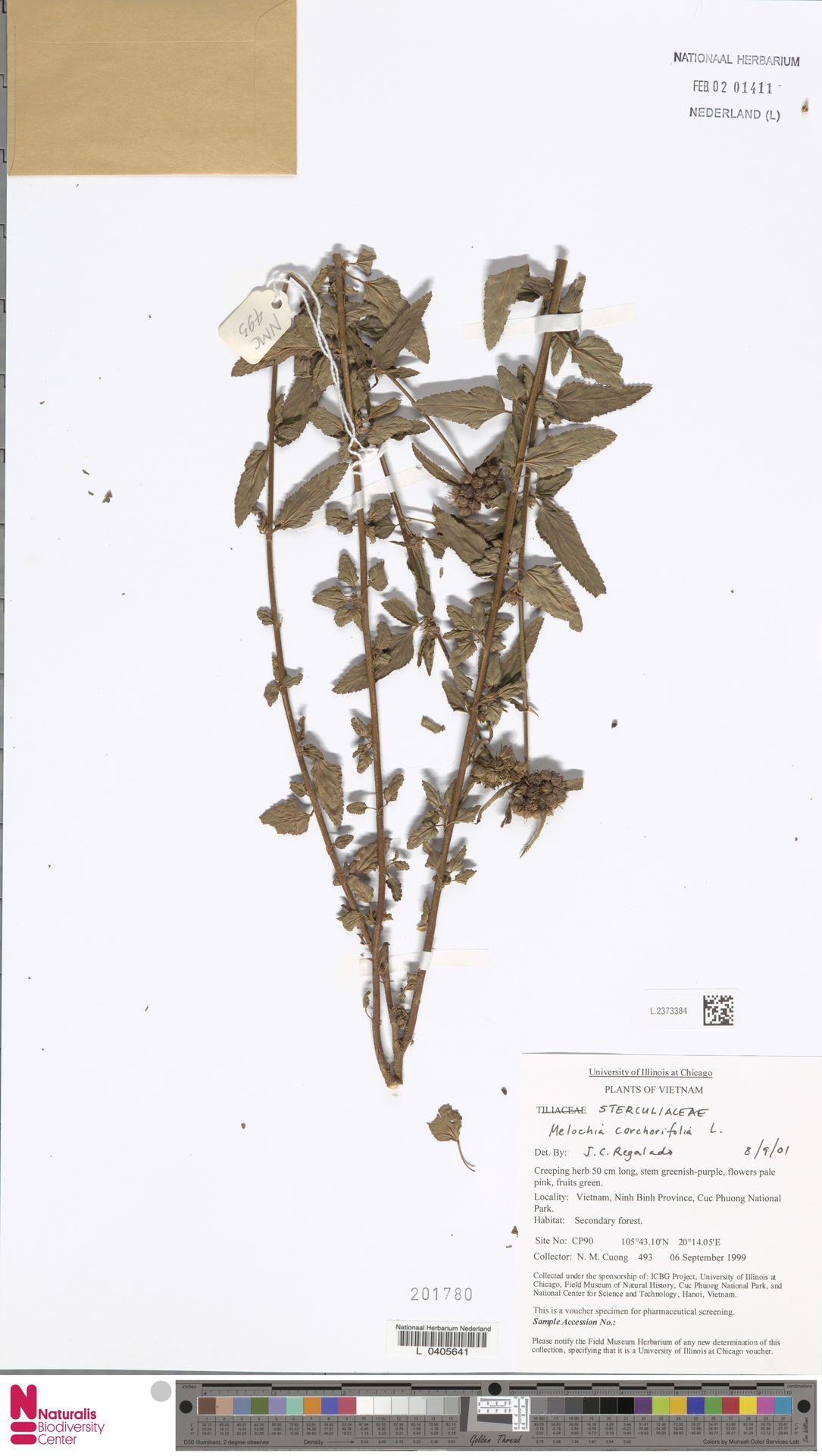 L.2373384   Melochia corchorifolia L.
