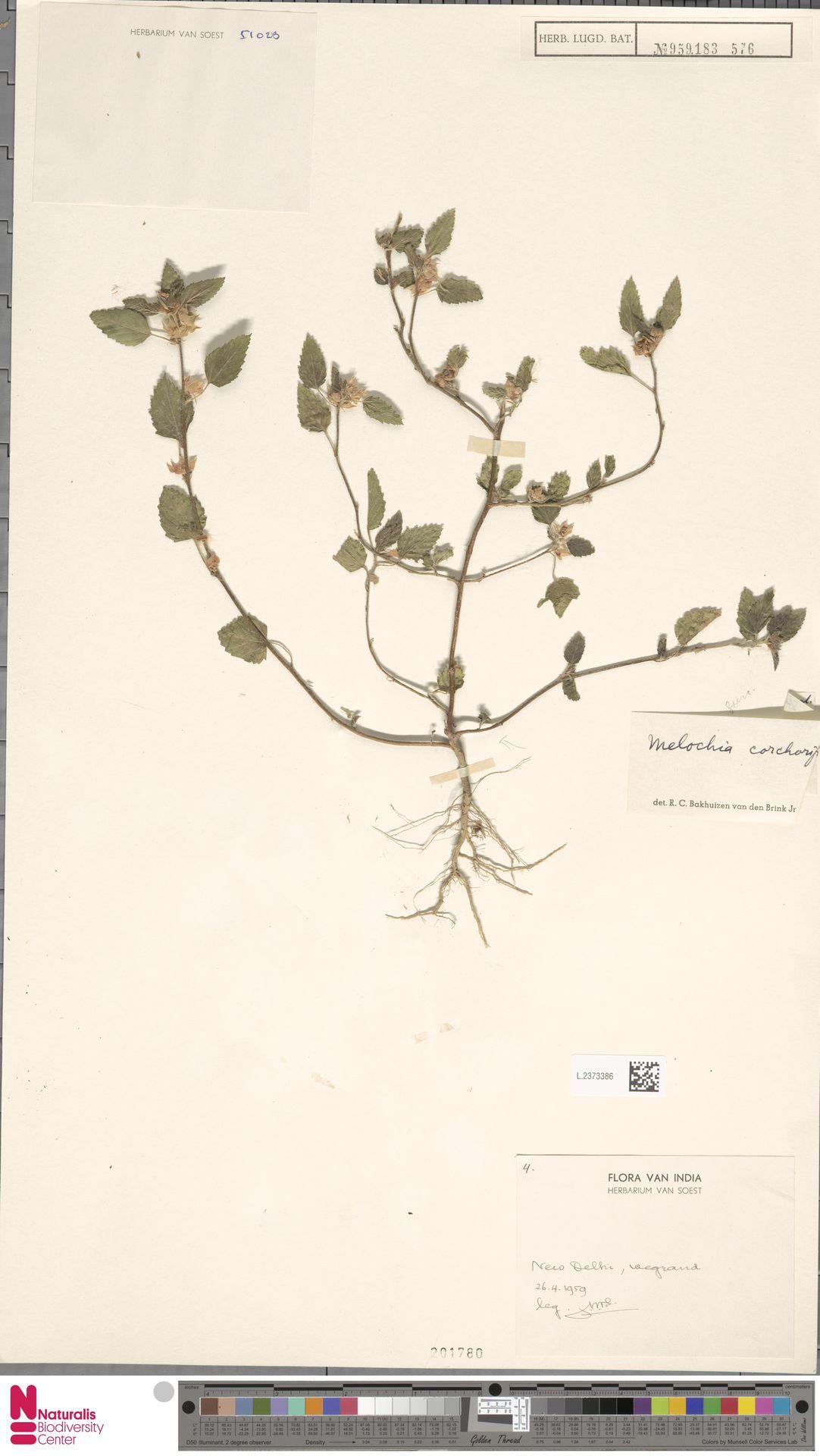 L.2373386 | Melochia corchorifolia L.