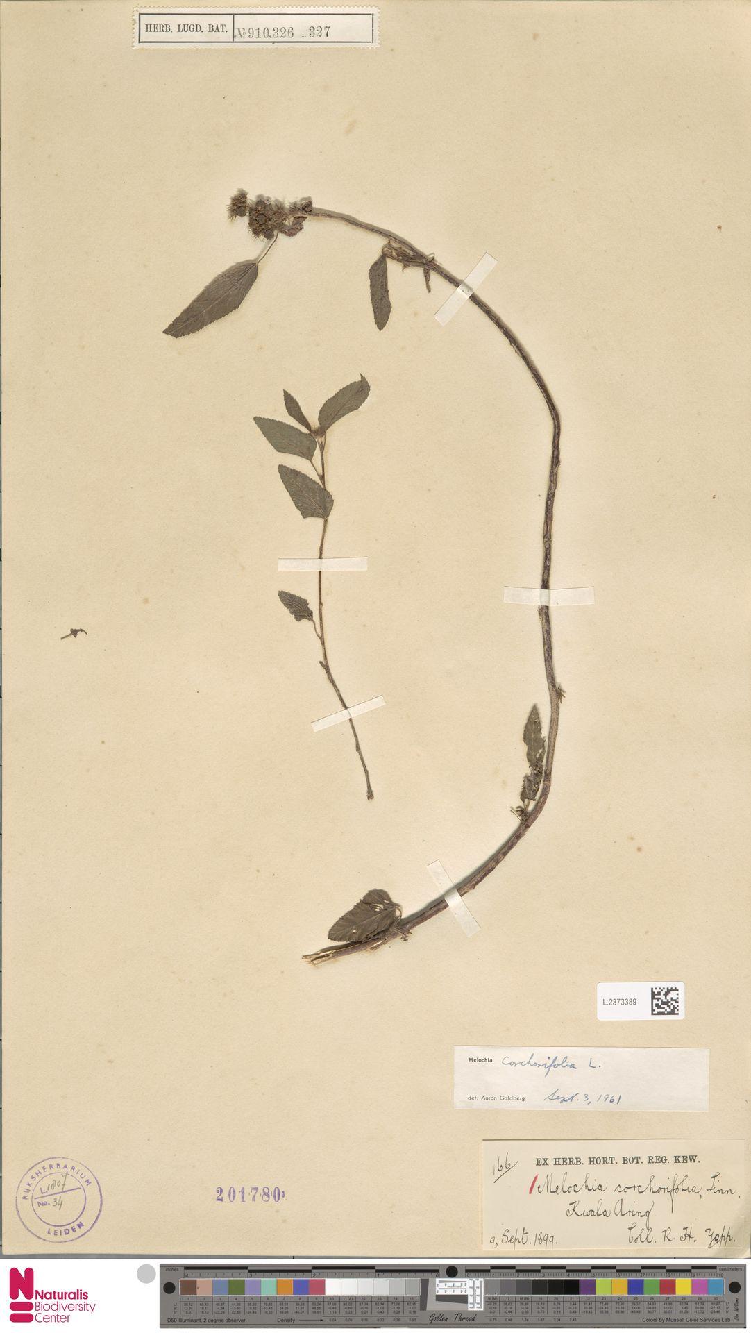L.2373389   Melochia corchorifolia L.